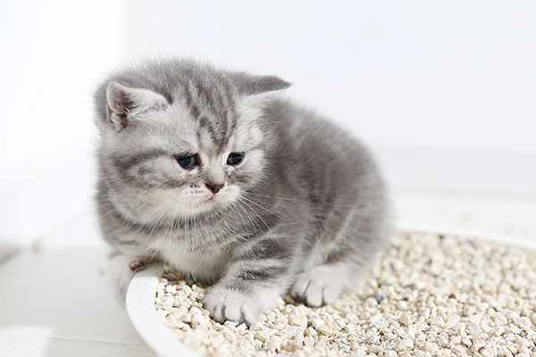 Urinary Tract Obstruction in Cats