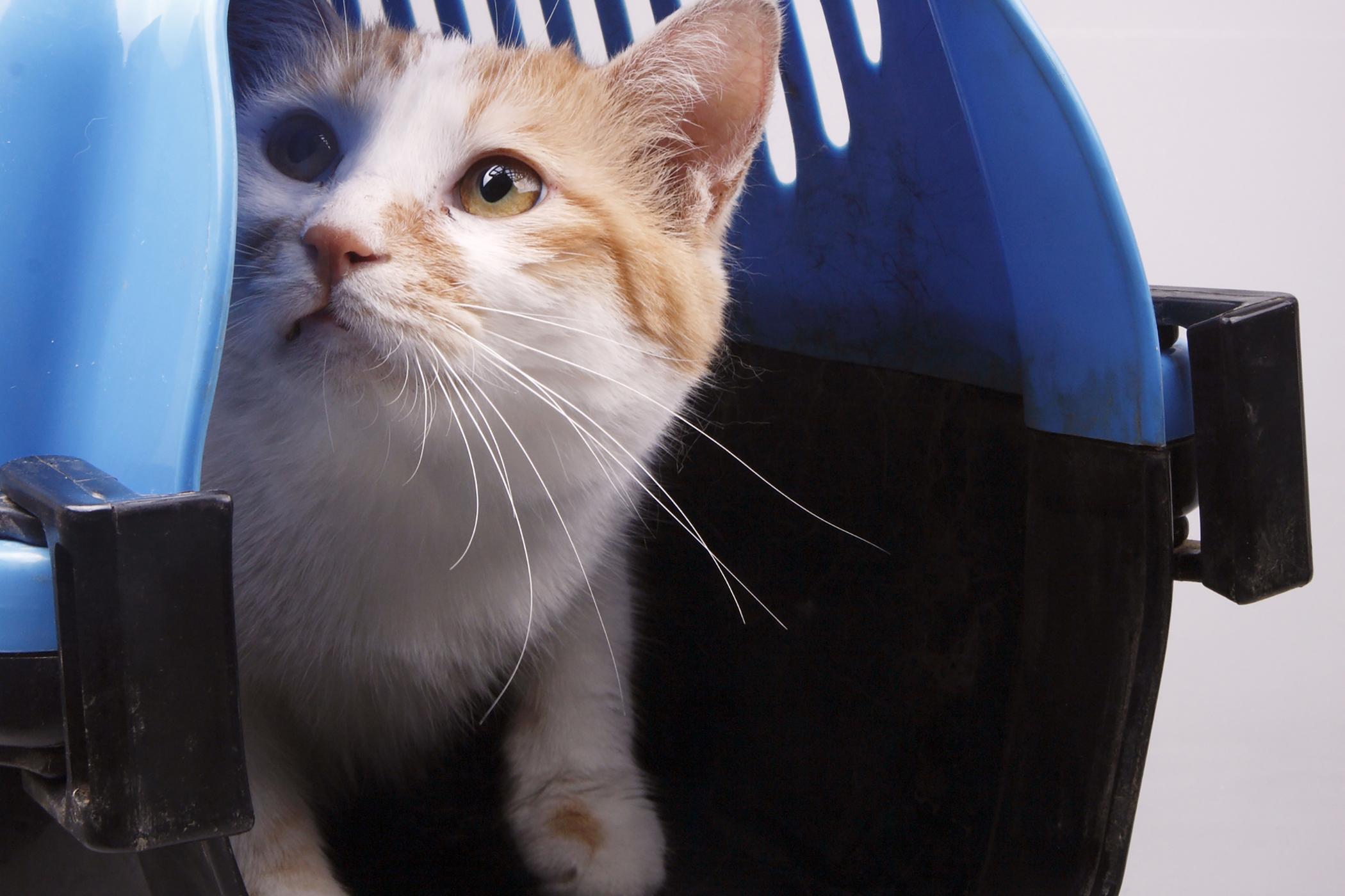 Uroabdomen in Cats