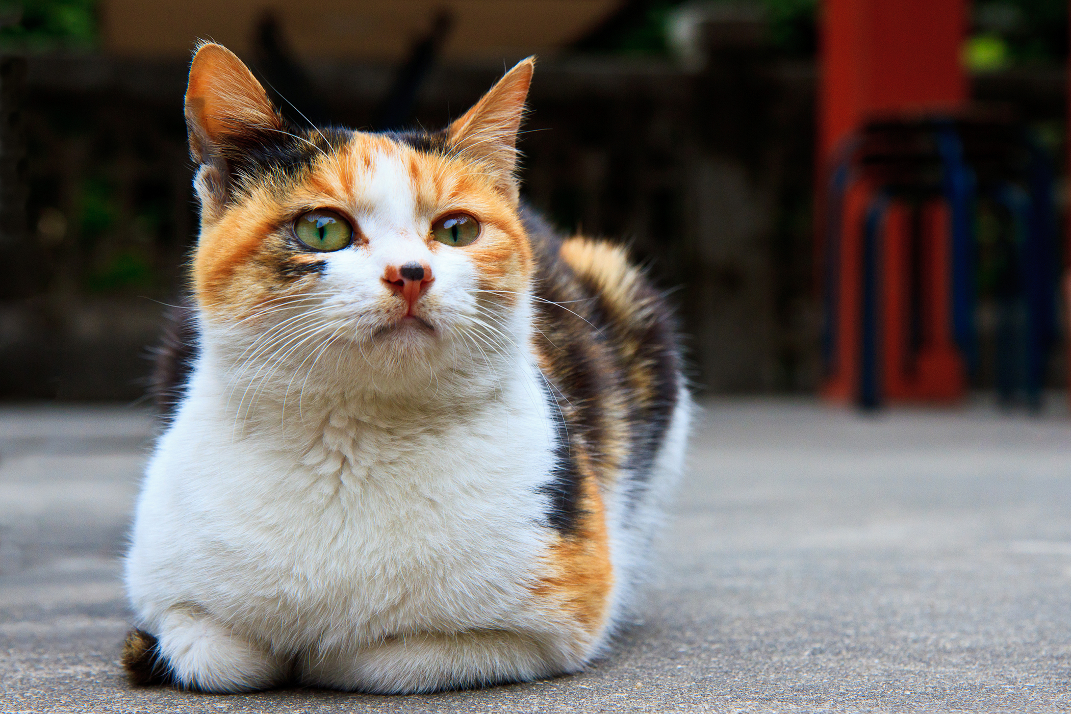 Uterine Prolapse in Cats