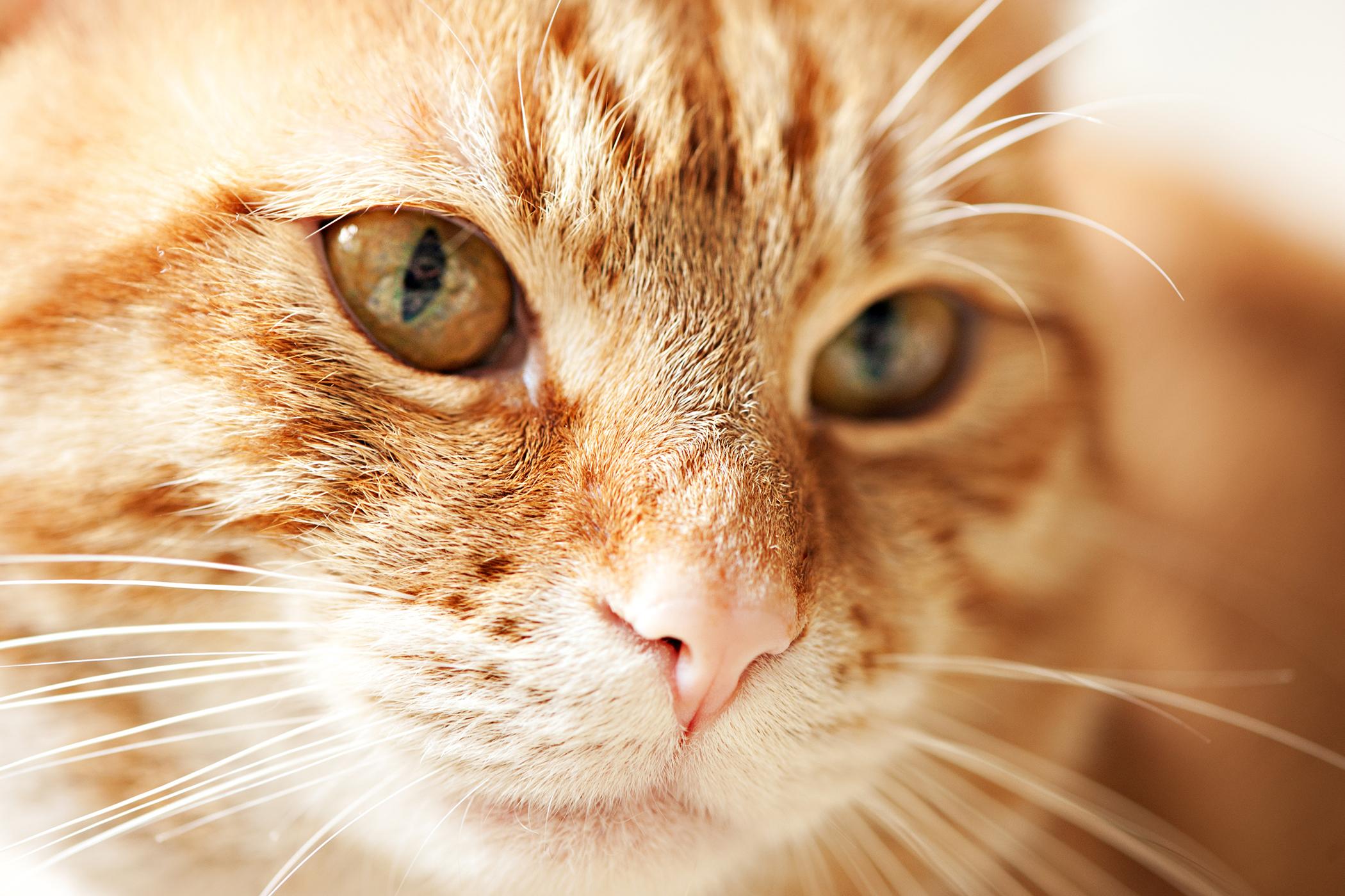 Uterine Tumors in Cats