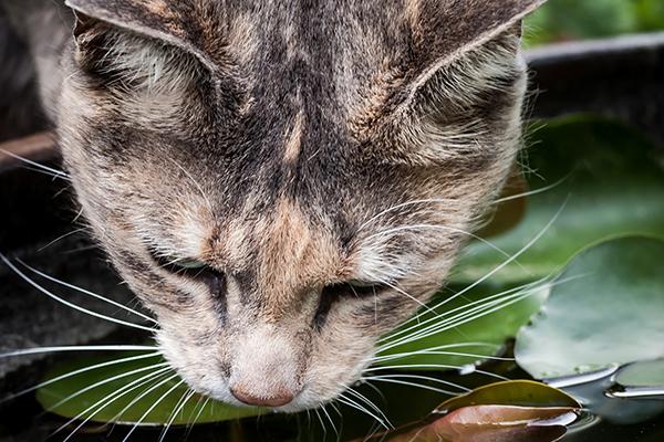 Vacuolar Hepatopathy in Cats