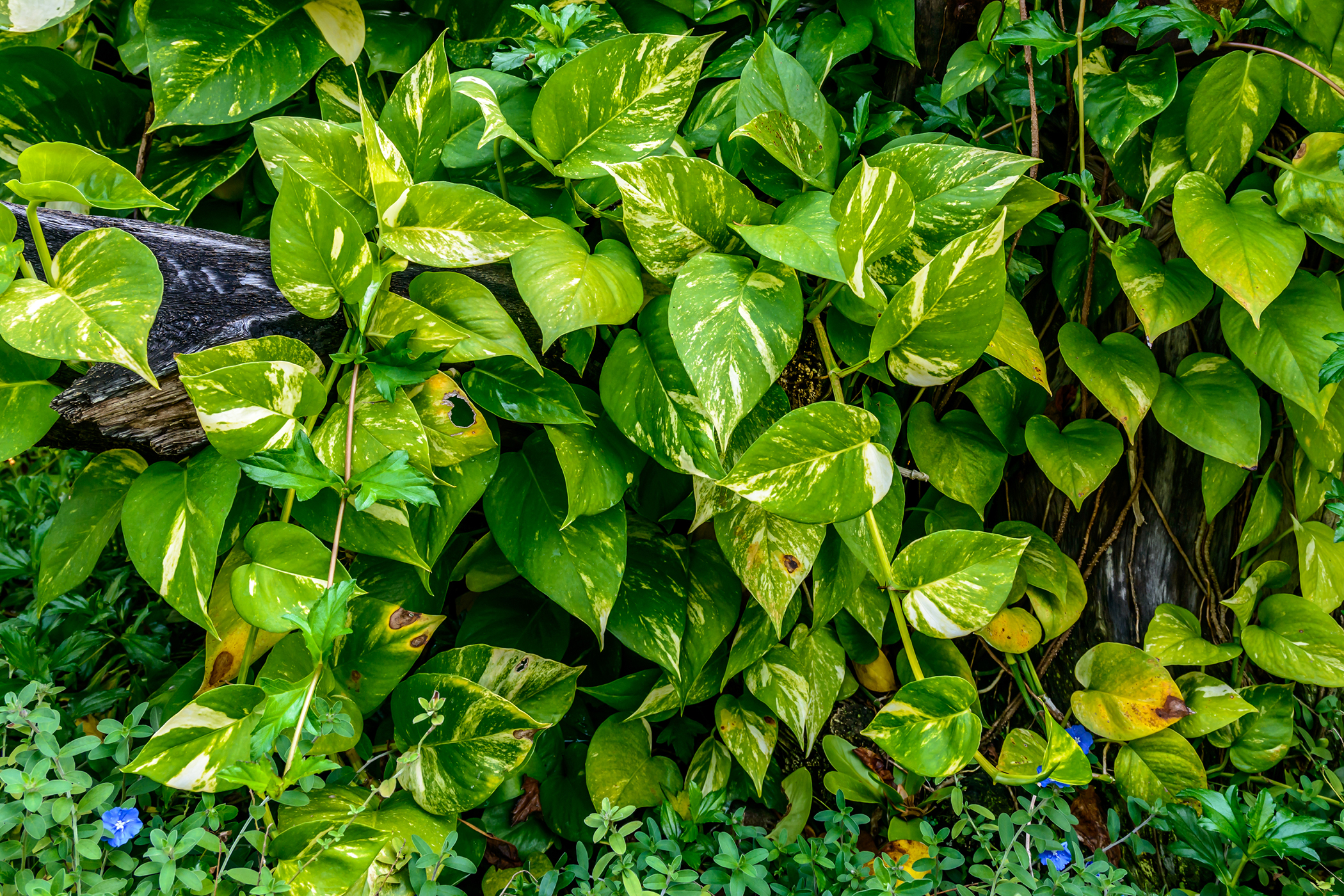 Variegated Philodendron Poisoning in Cats