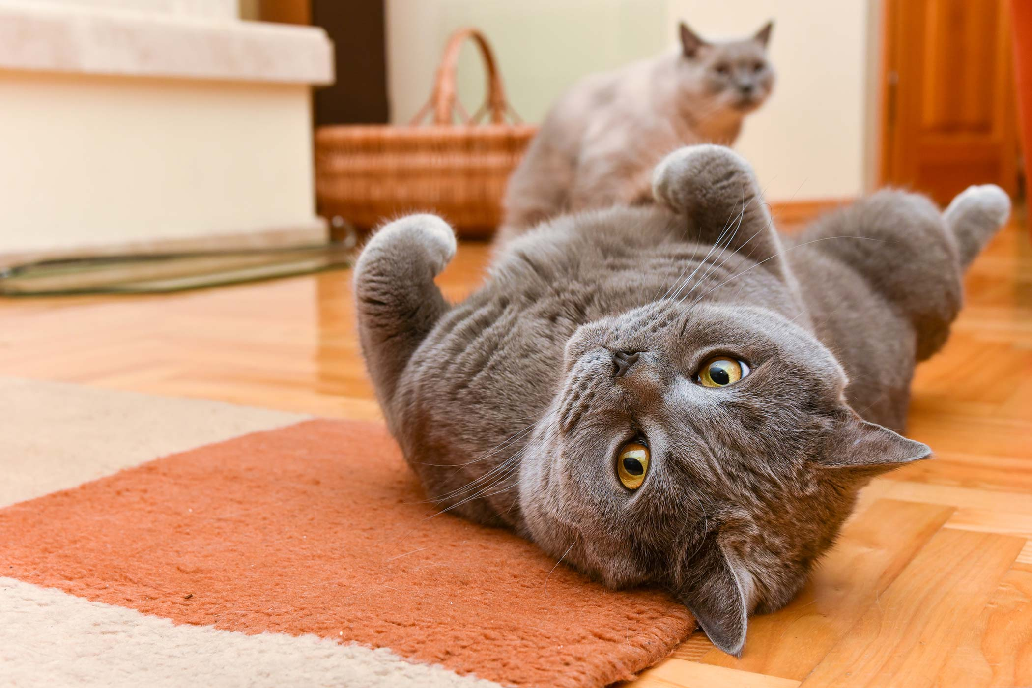 Vertebral Disc Inflammation in Cats