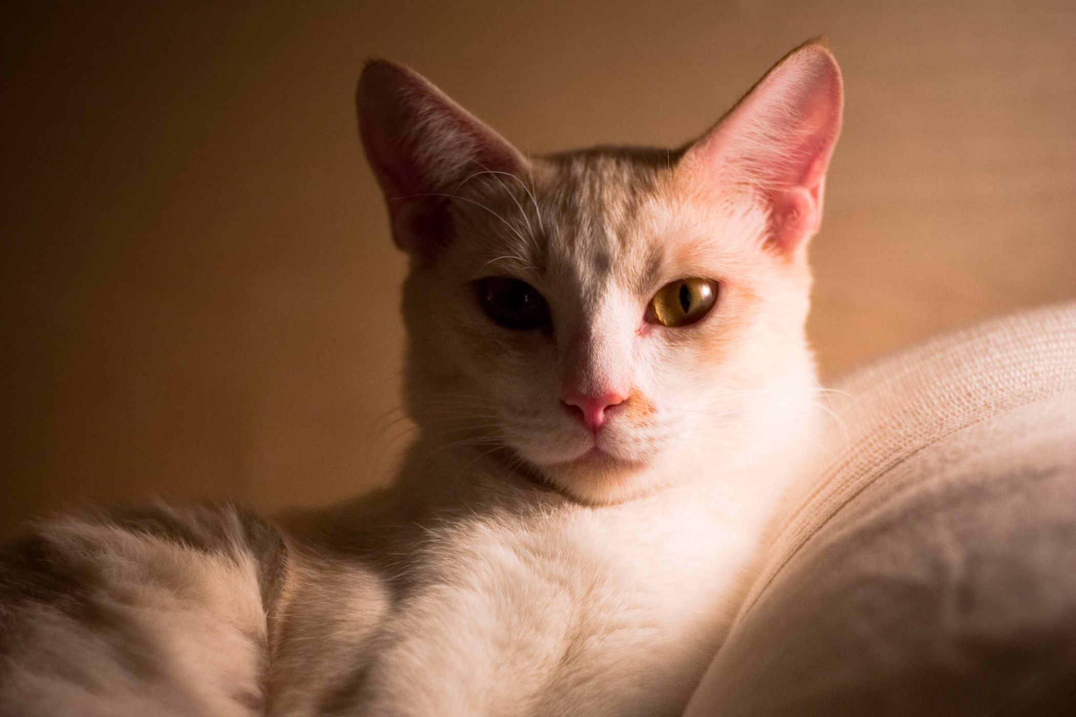 Vestibular Disease in Cats - Symptoms, Causes, Diagnosis, Treatment, Recovery, Management, Cost