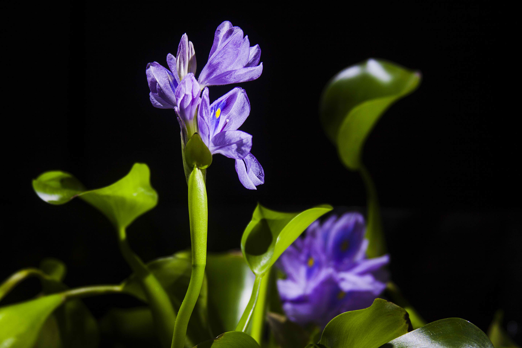 Water Hyacinth Poisoning in Cats