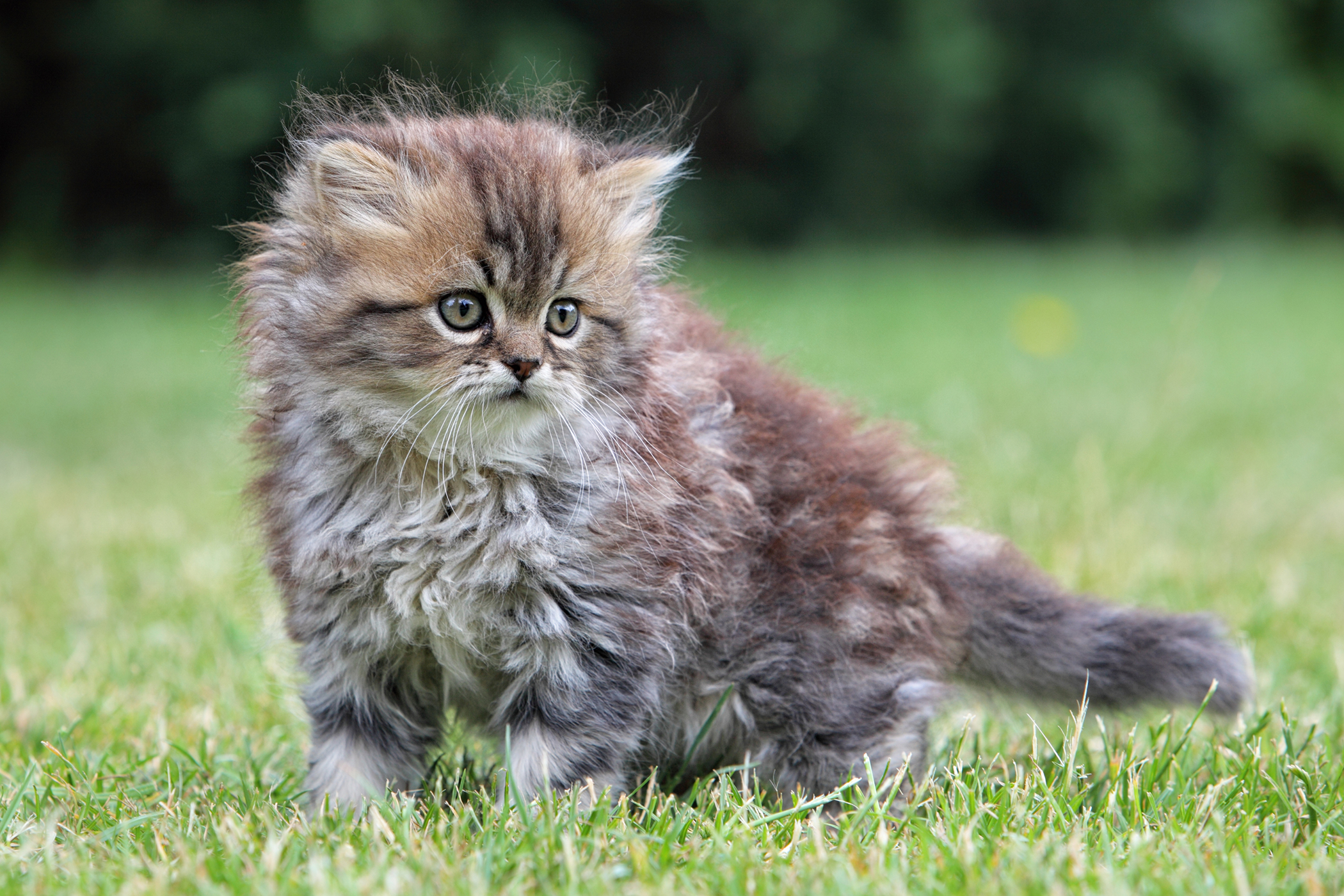 Whitmore's Disease in Cats