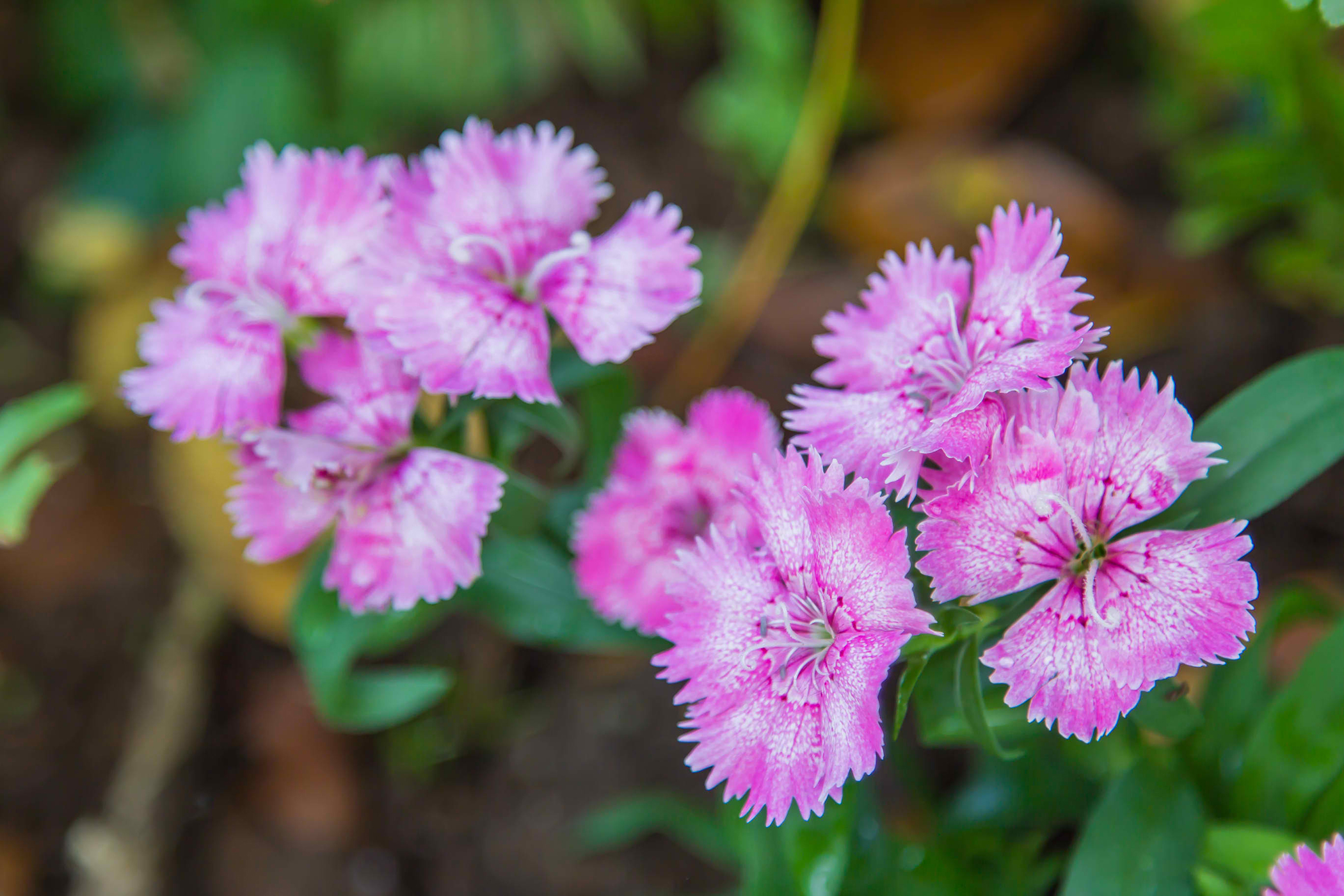 Wild Carnation Poisoning in Cats