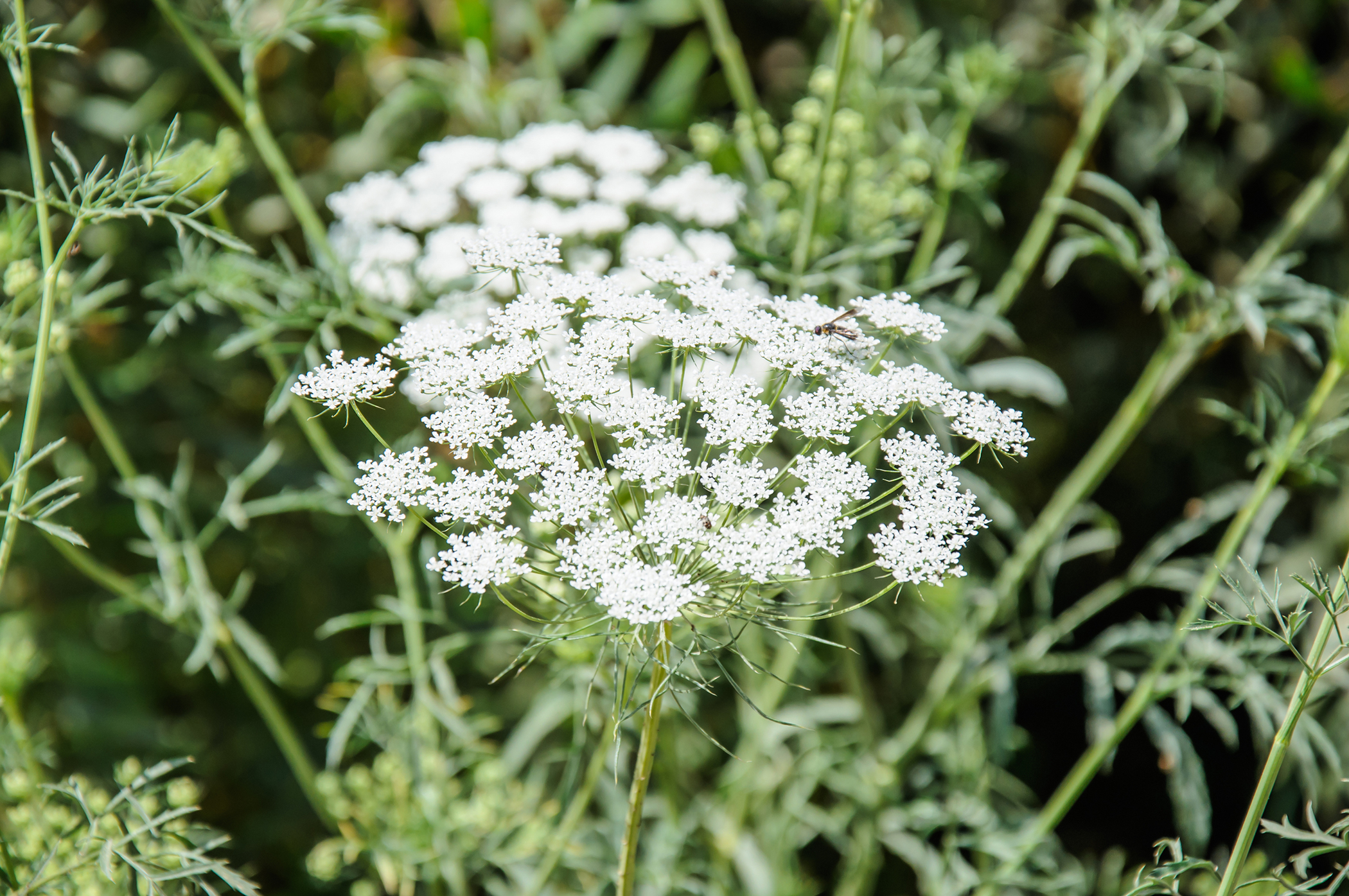 Wild Carrot Poisoning in Cats