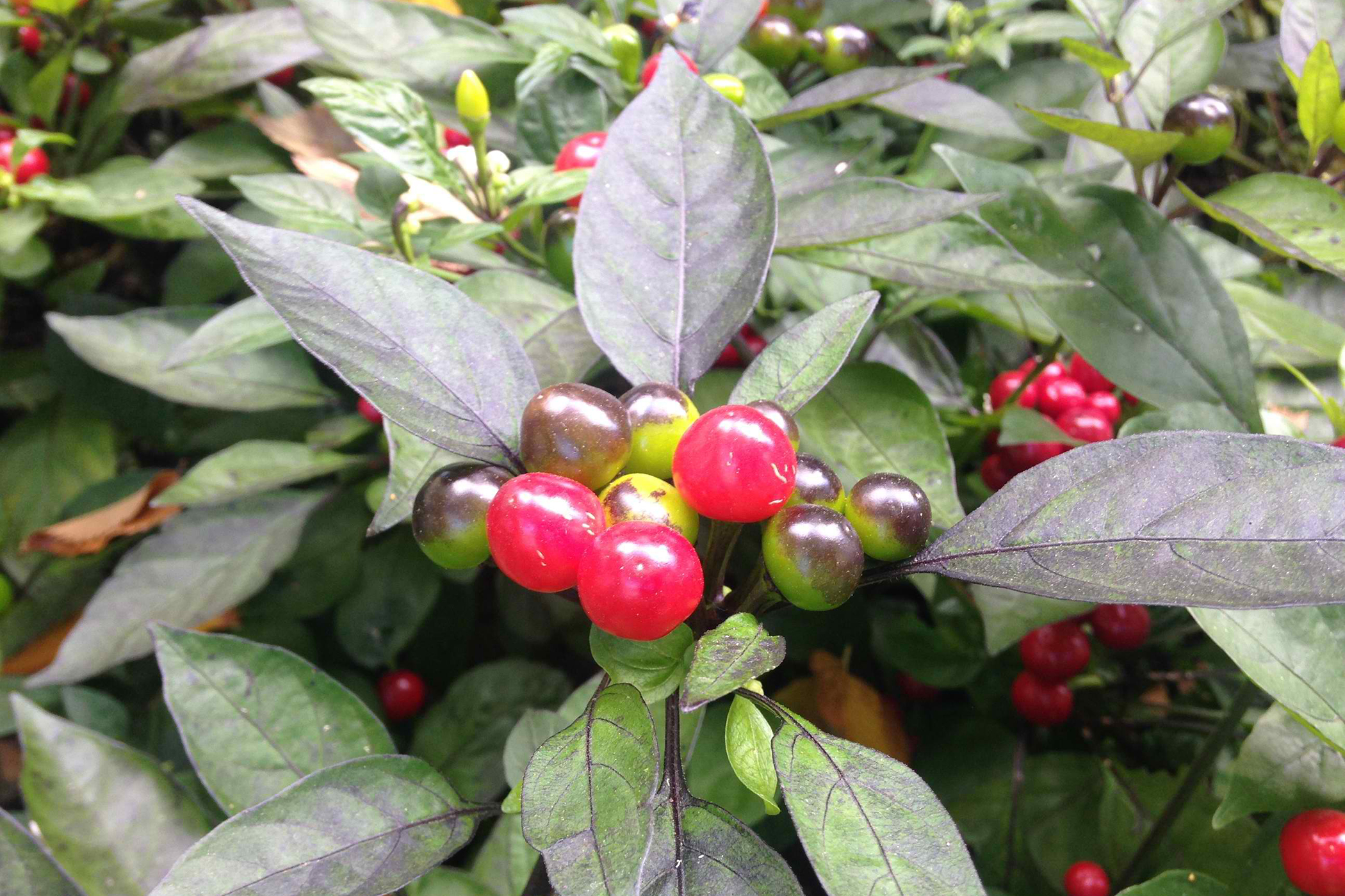 Winter Cherry Poisoning in Cats