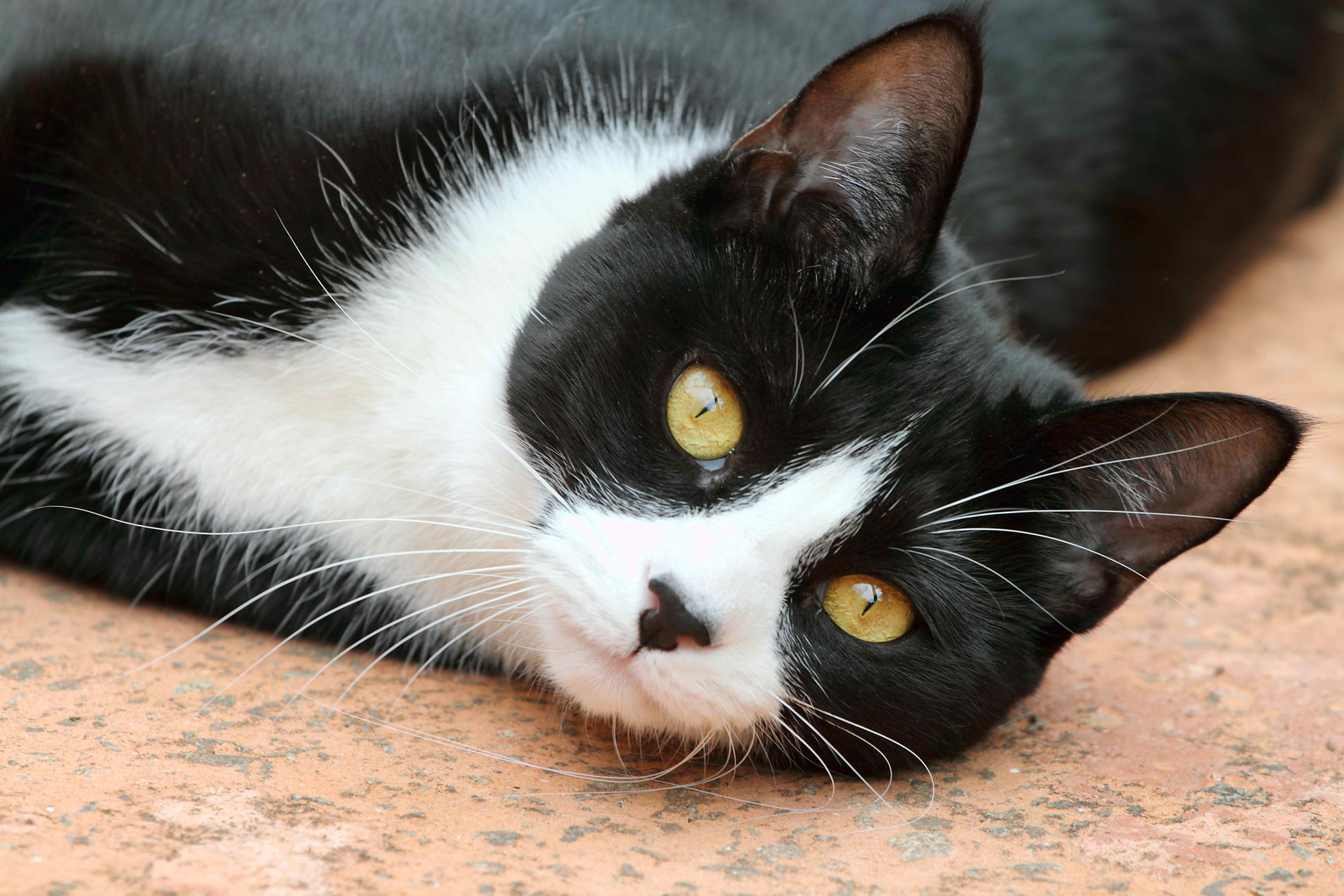 Wobblers Syndrome in Cats