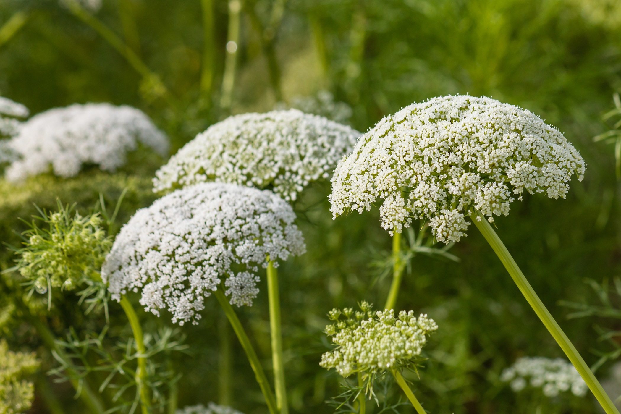 Yarrow Poisoning in Cats