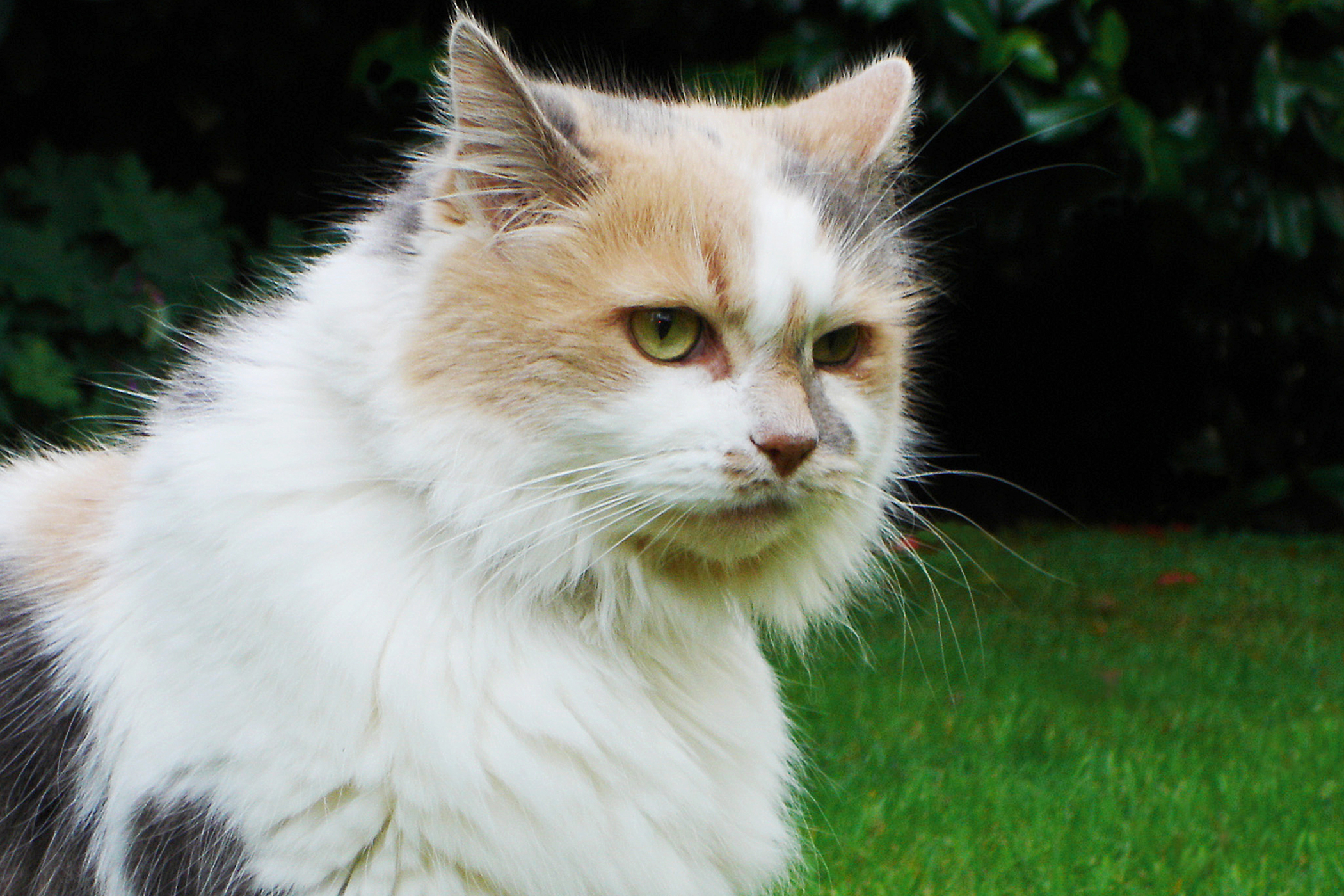 Yeast Allergy in Cats