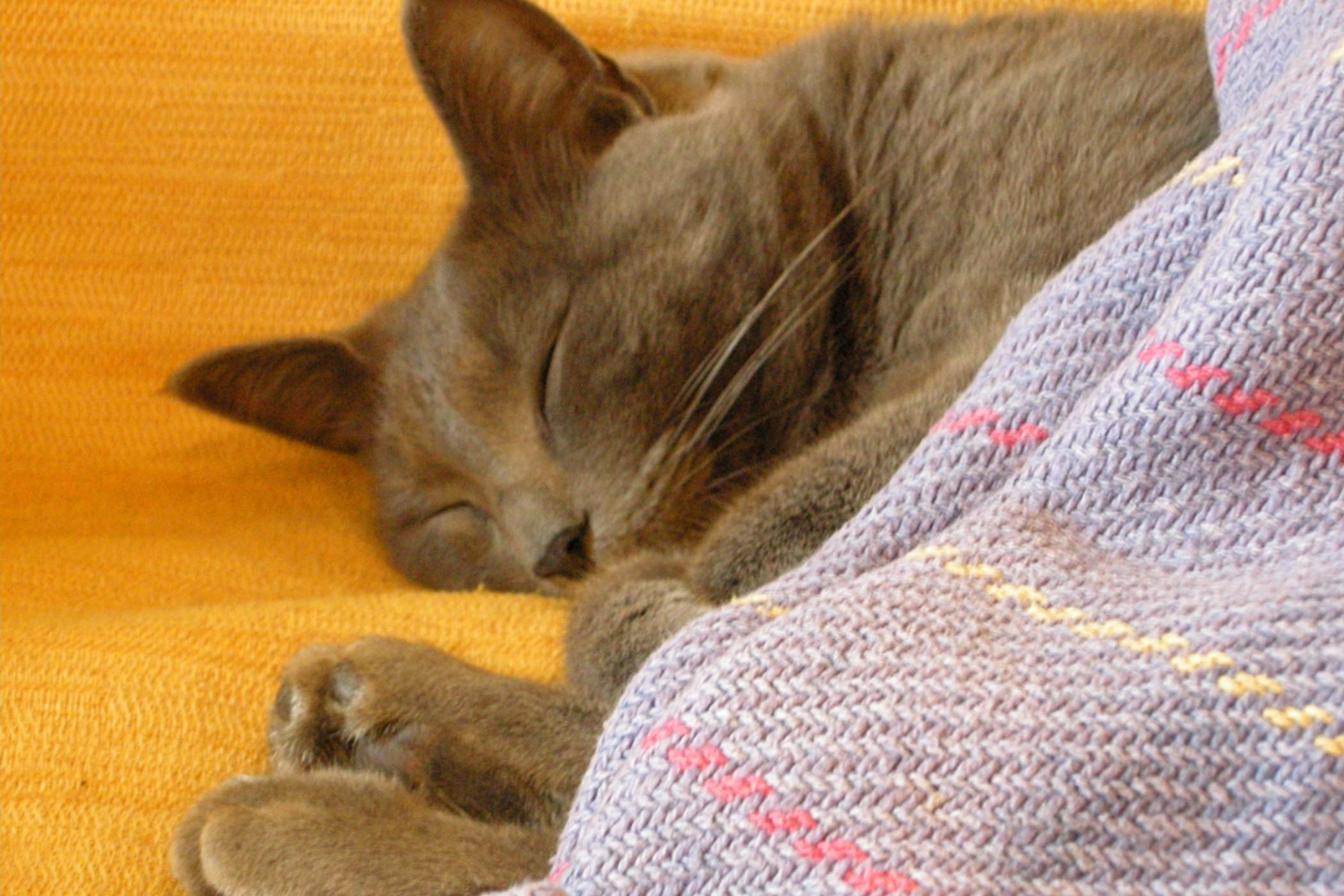 Yeast Infection and Thrush in Cats