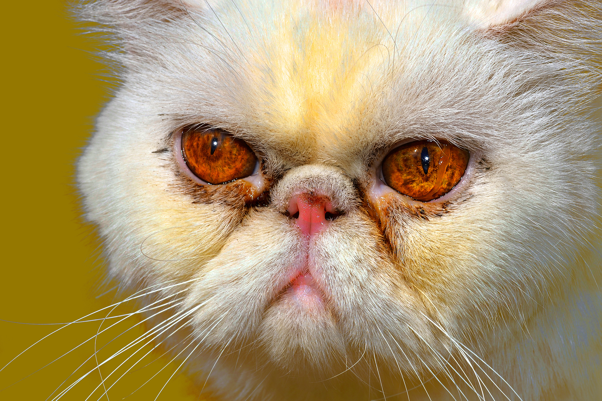 Yellow Fat Disease in Cats