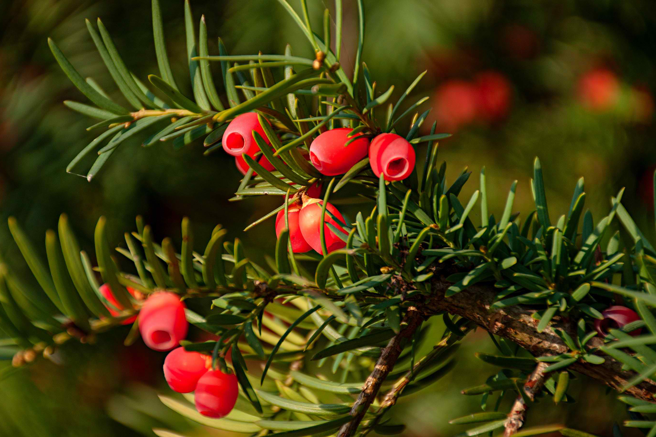 Yew Poisoning in Cats