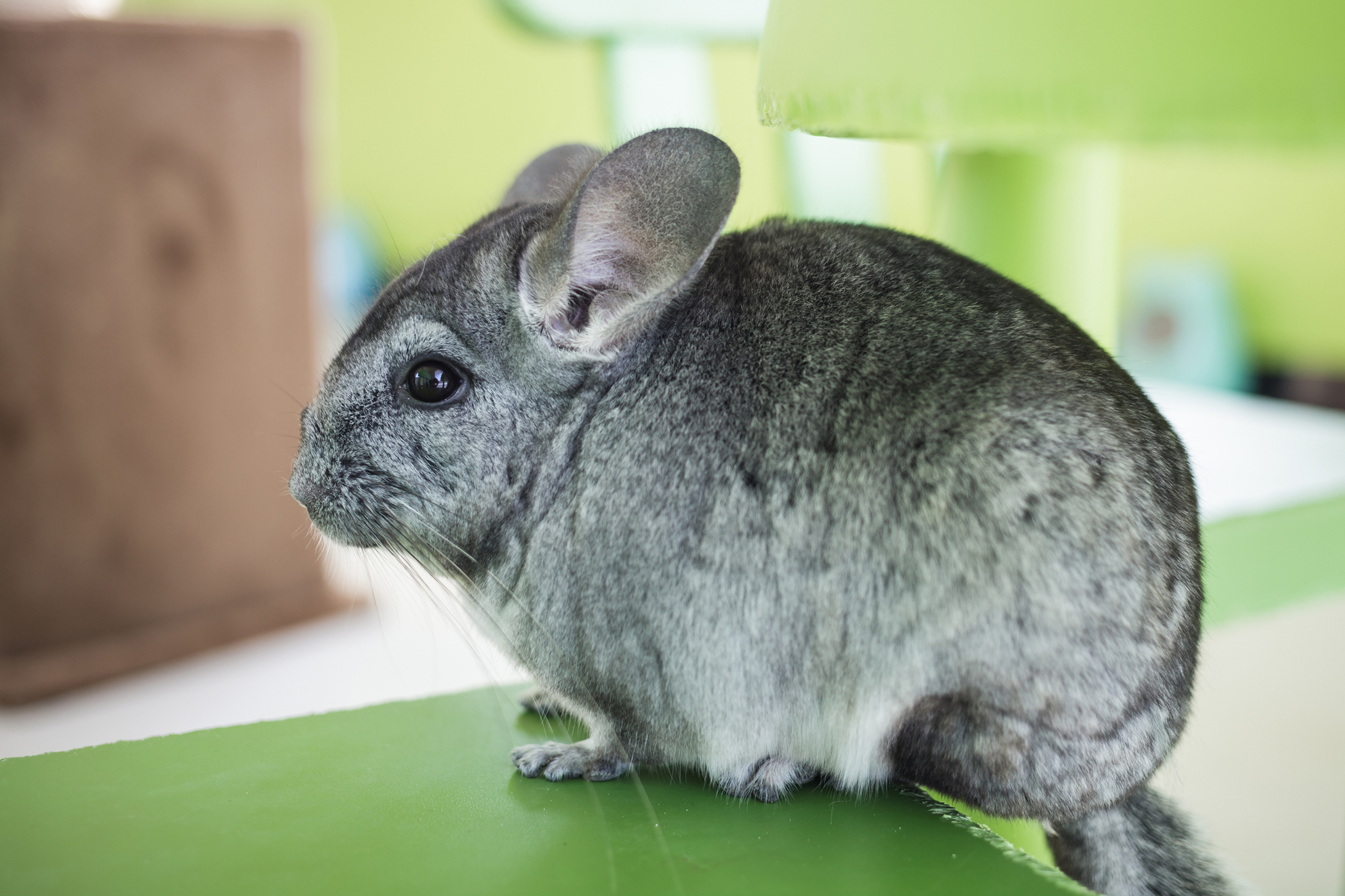 Bloating in Chinchillas