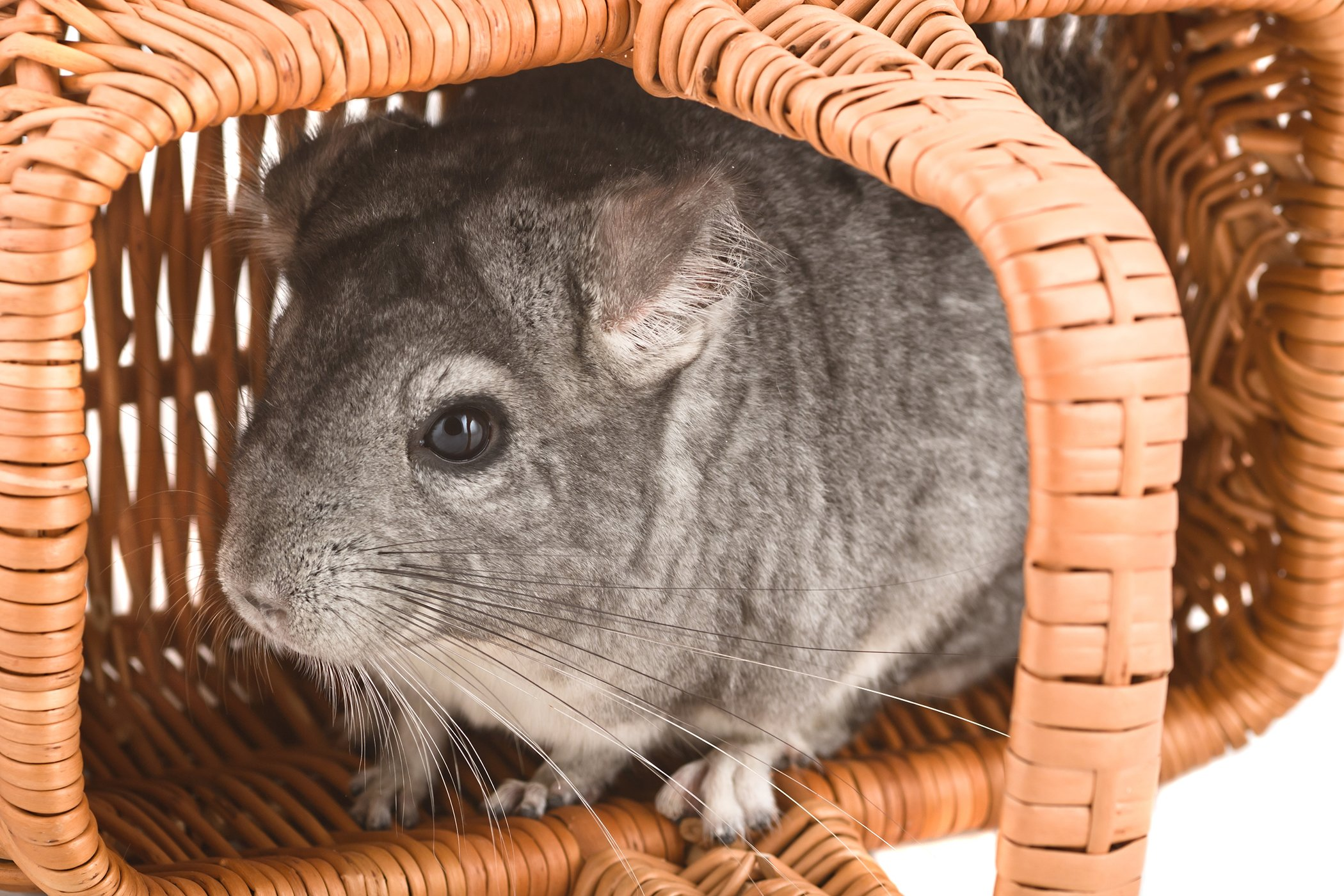 Bone Fractures in Chinchillas - Symptoms, Causes, Diagnosis, Treatment, Recovery, Management, Cost