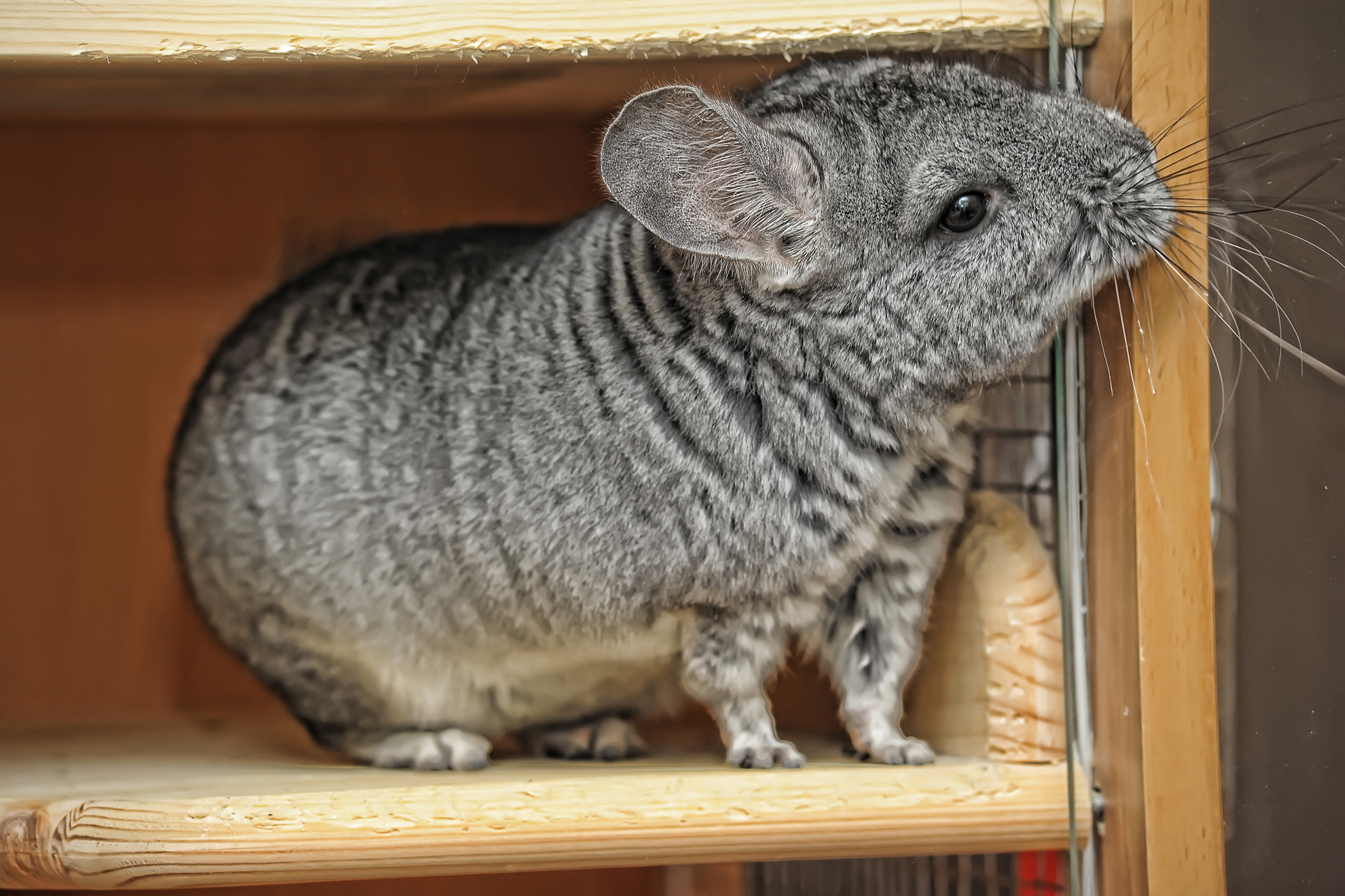 Constipation in Chinchillas - Symptoms, Causes, Diagnosis, Treatment, Recovery, Management, Cost
