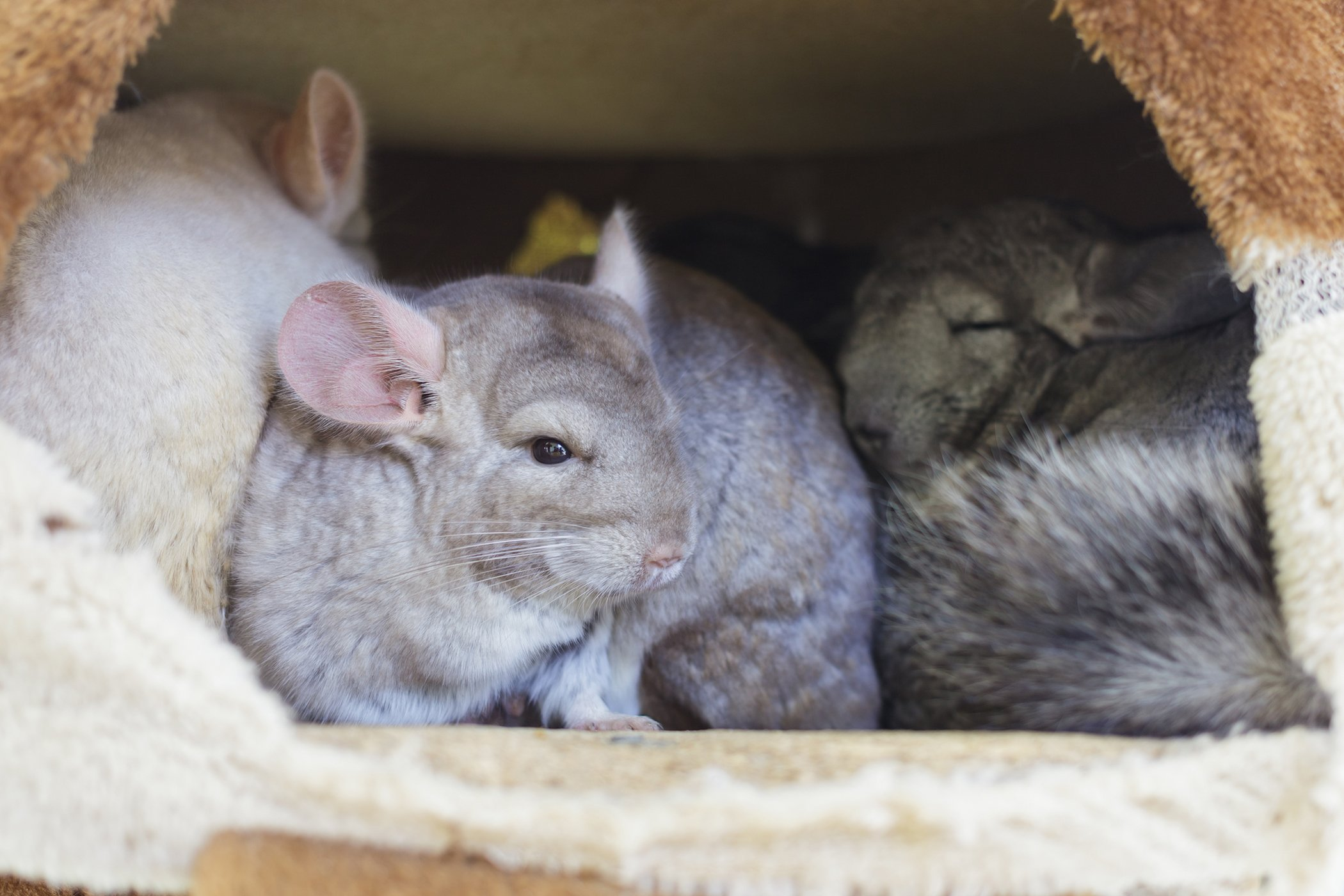 Difficulty Giving Birth in Chinchillas