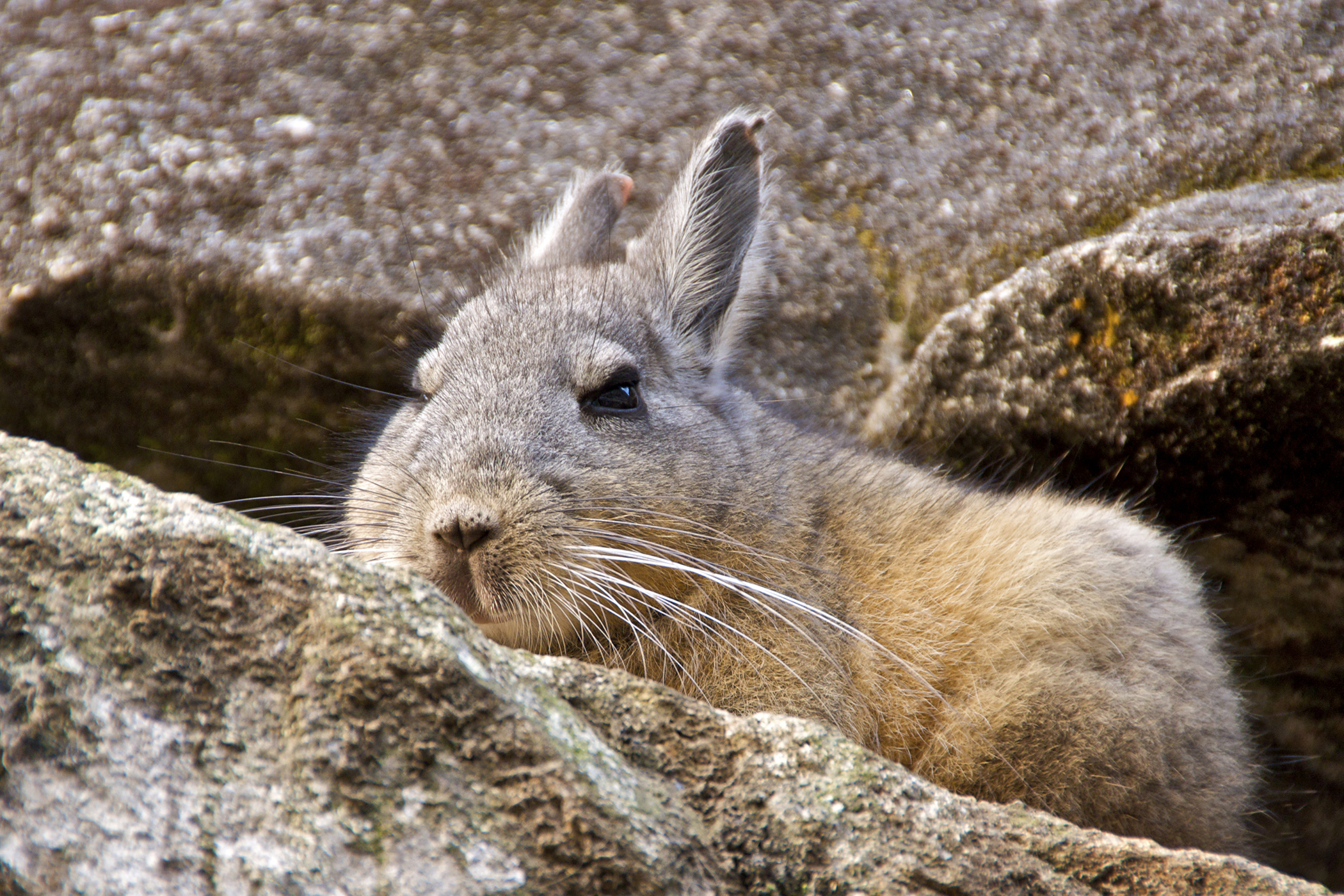 Herpes Virus Infection in Chinchillas