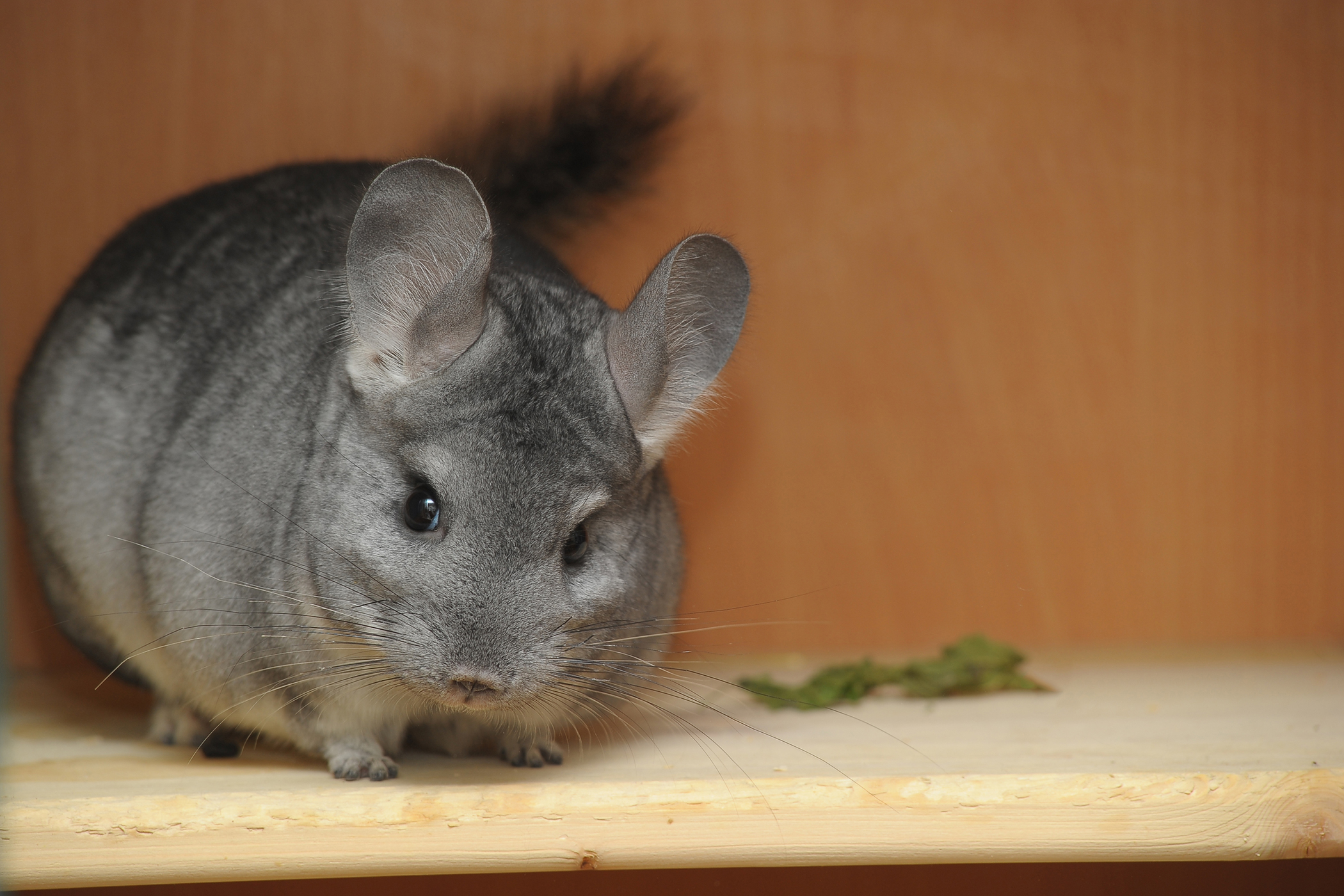Infection and Inflammation of the Uterus in Chinchillas