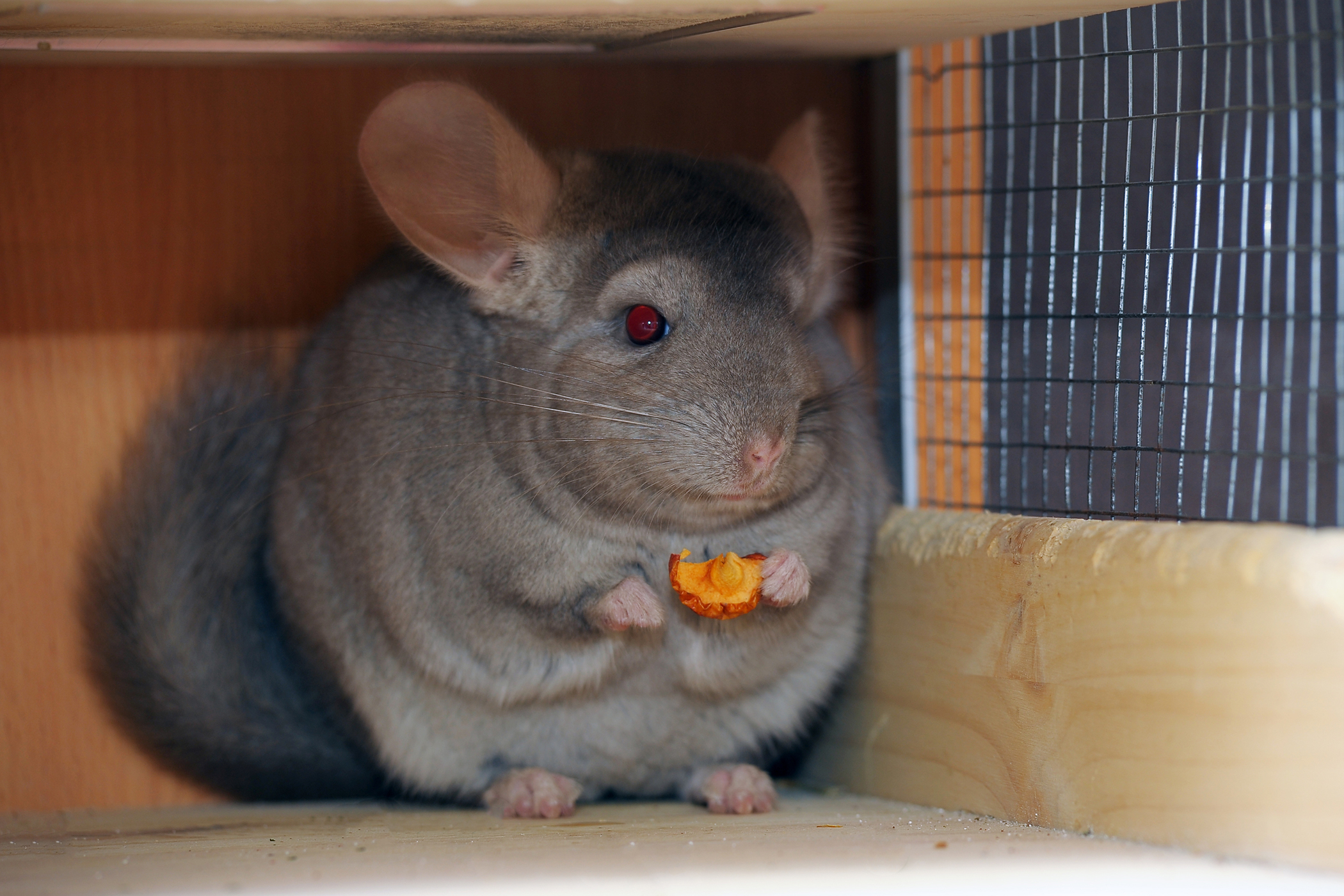 Infertility in Chinchillas - Symptoms, Causes, Diagnosis, Treatment, Recovery, Management, Cost