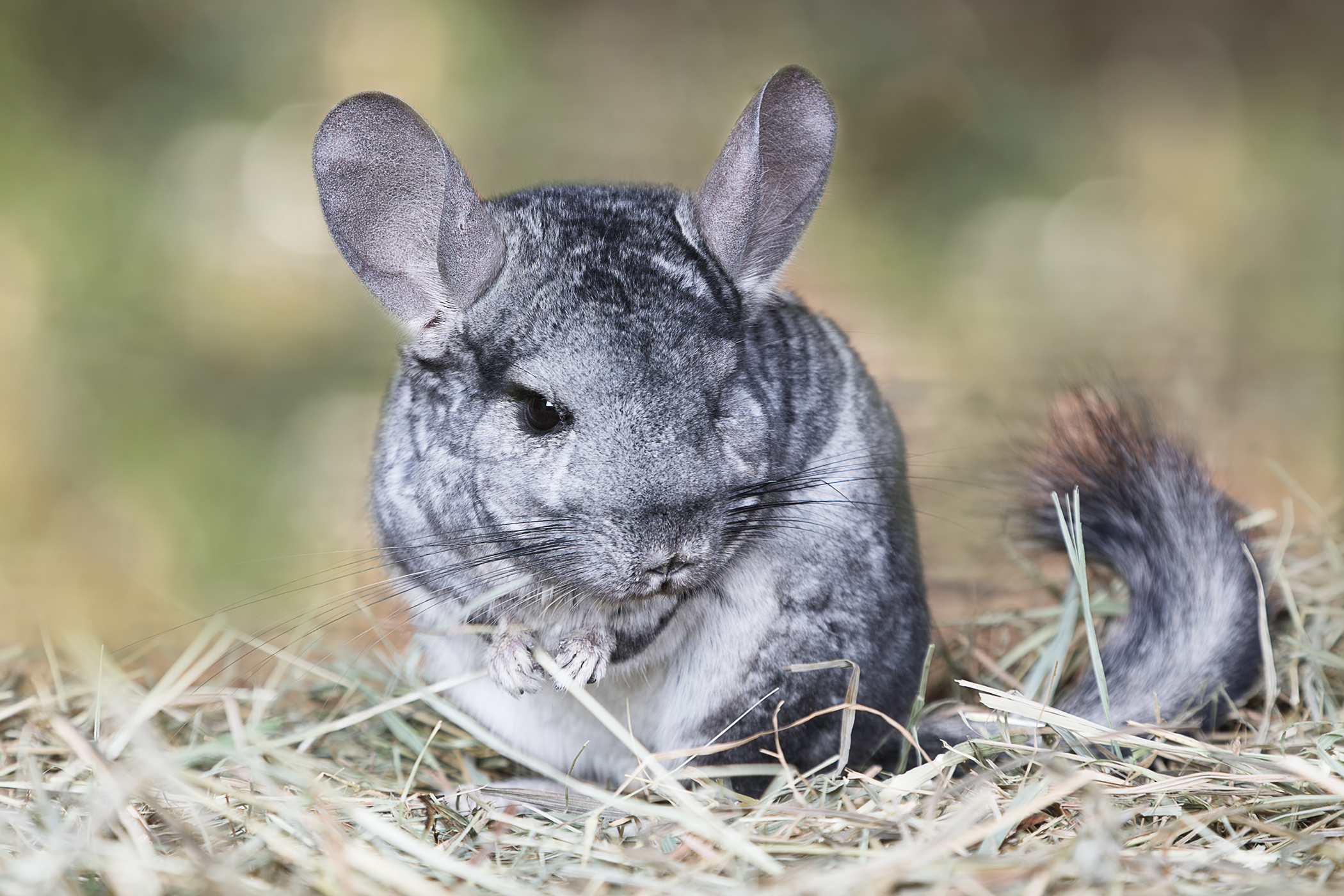 Inflammation of the Mammary Gland in Chinchillas