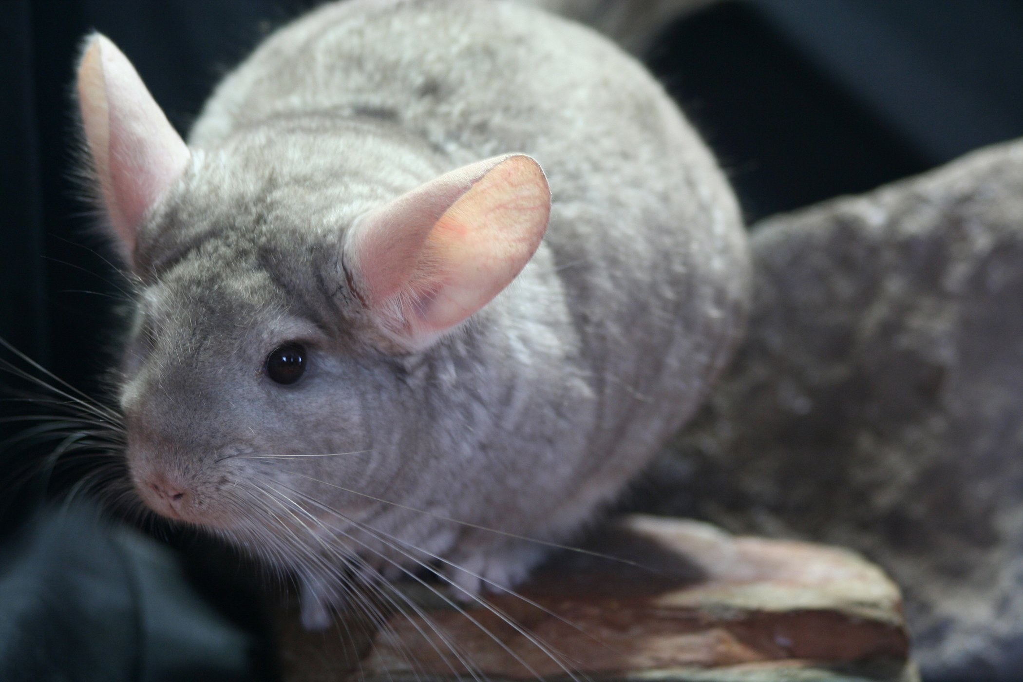 Middle Ear Infection in Chinchillas