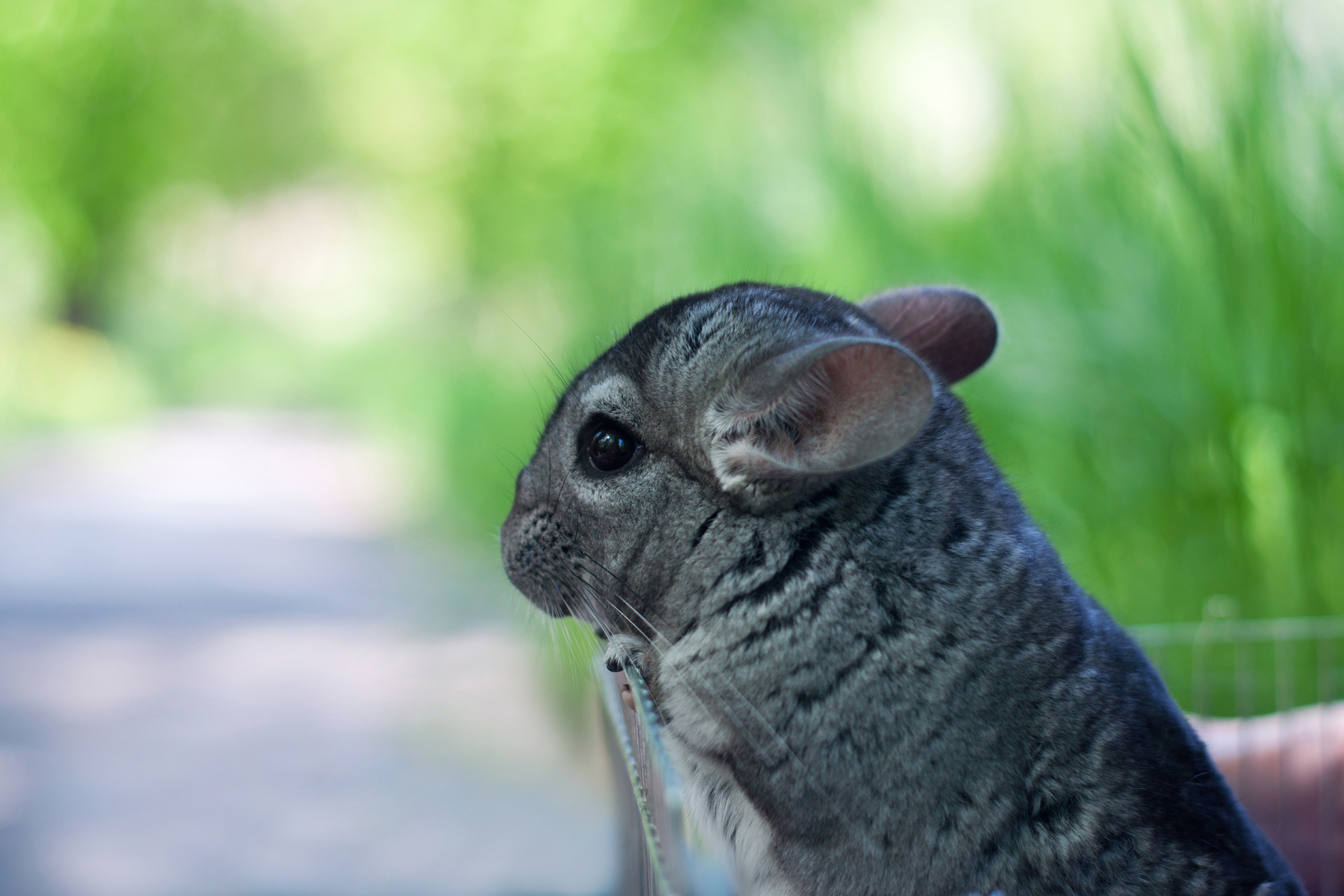 Miscarriage in Chinchillas