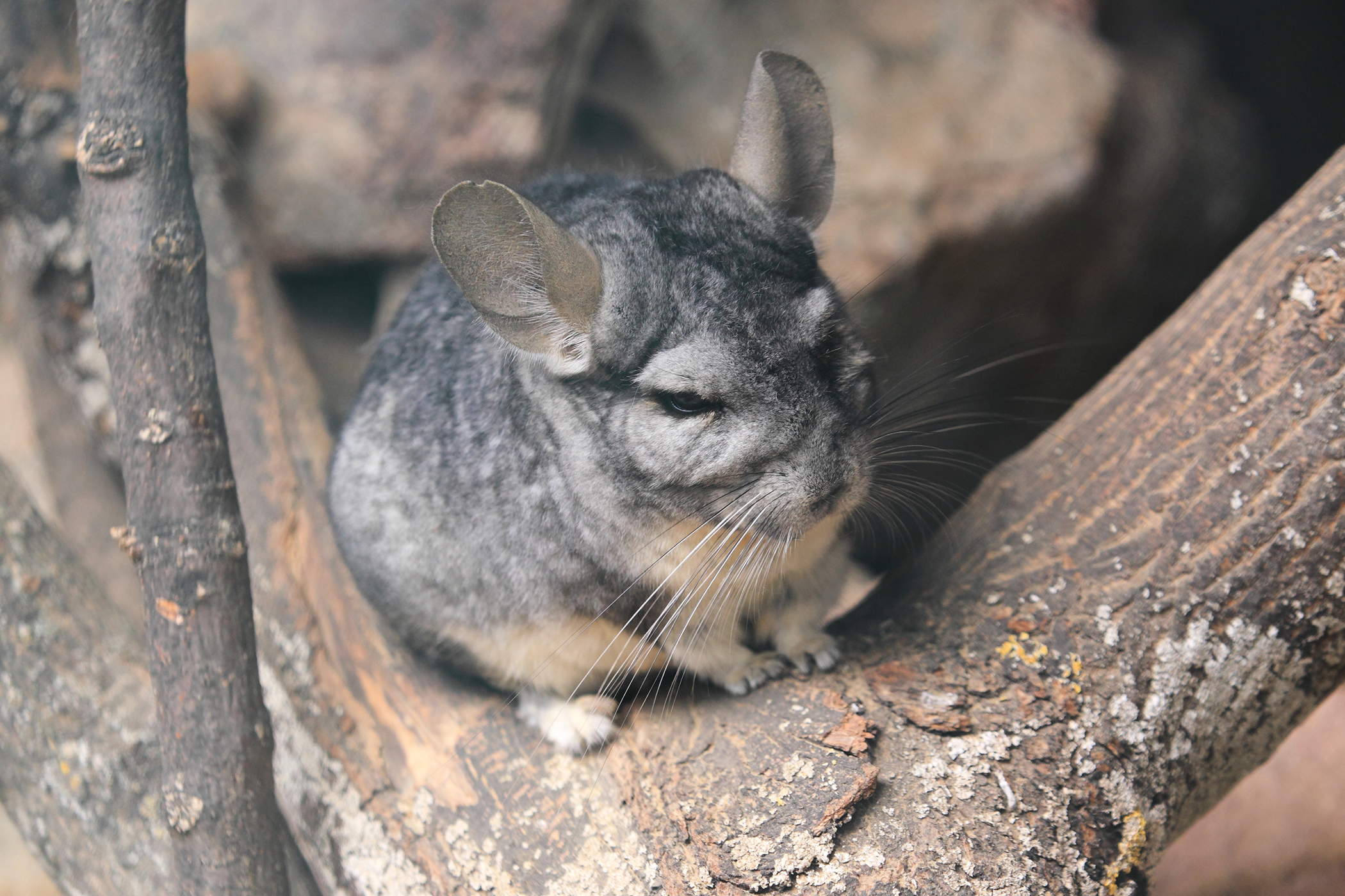 Neurological Protozoa Infection in Chinchillas