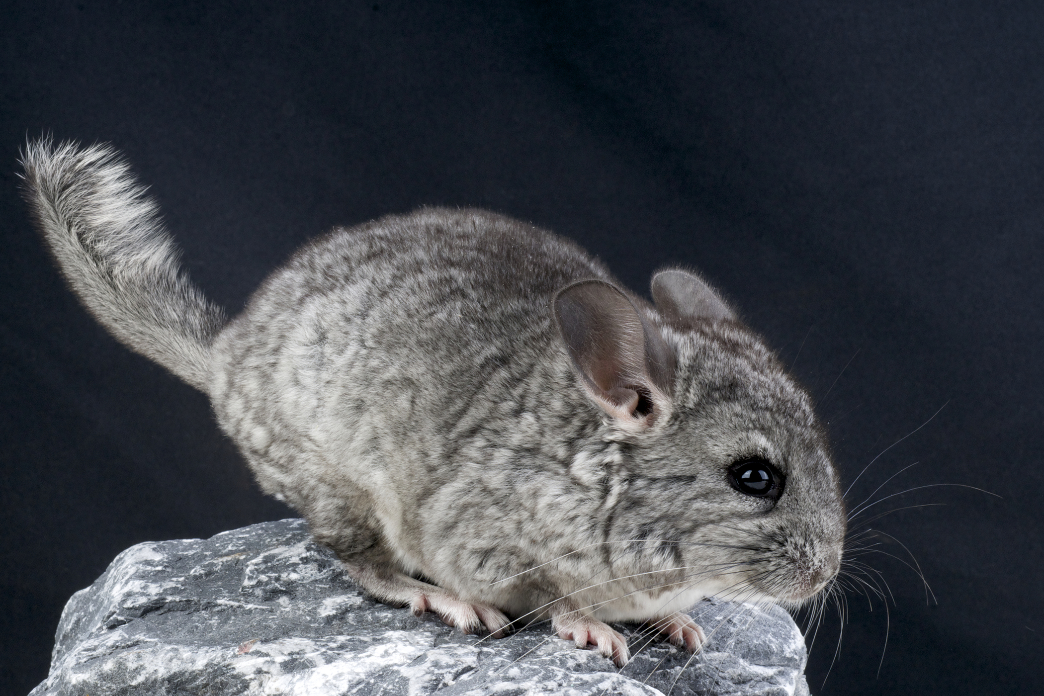 Pneumonia in Chinchillas
