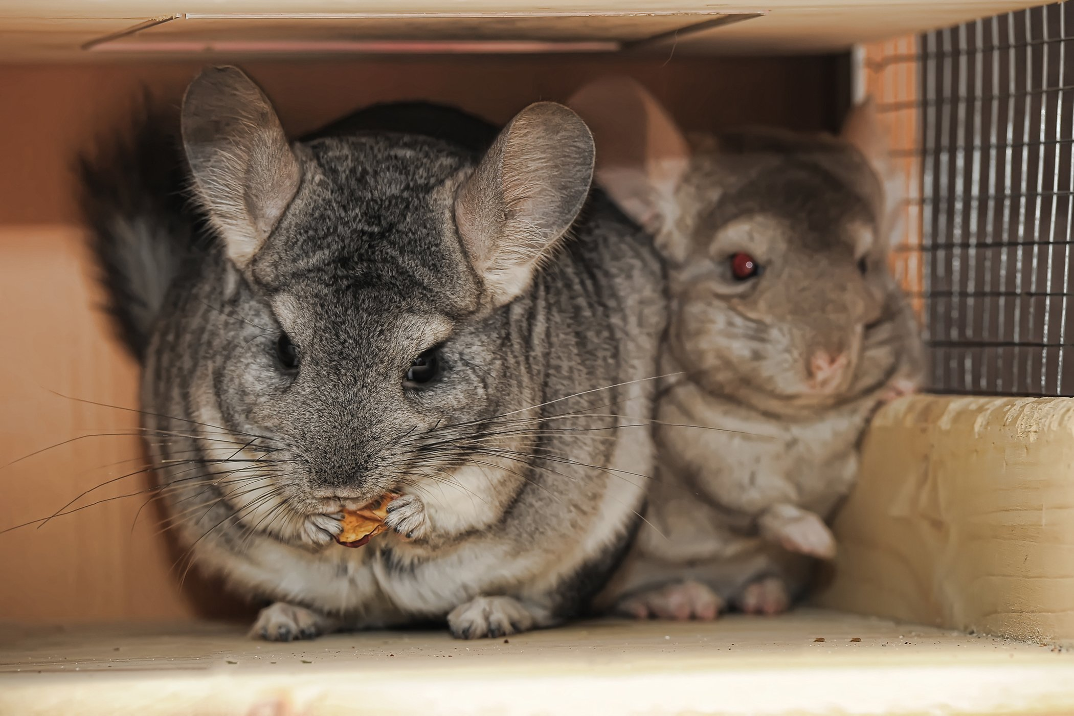 Protozoan Infections in Chinchillas