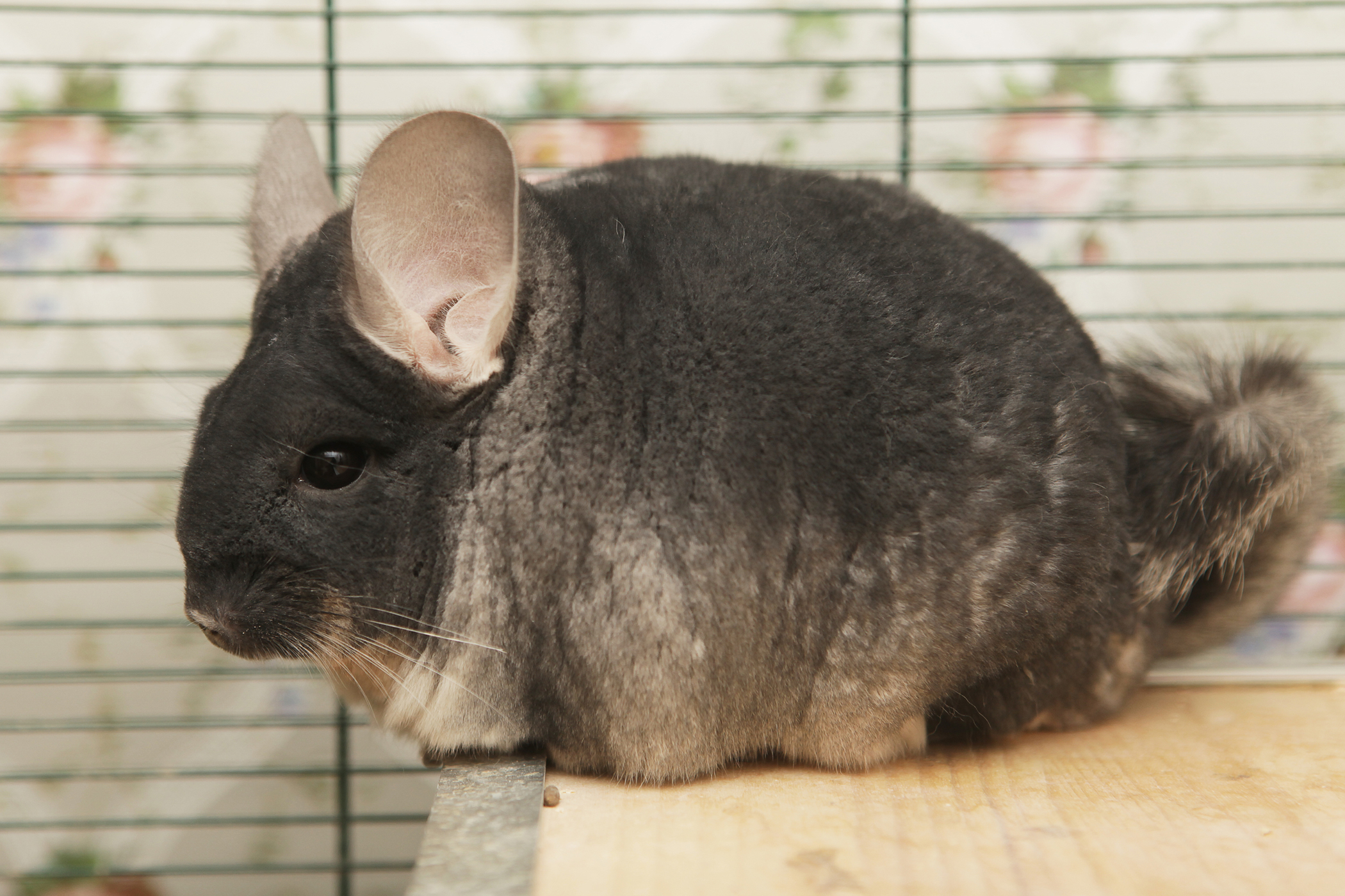 Roundworms in Chinchillas