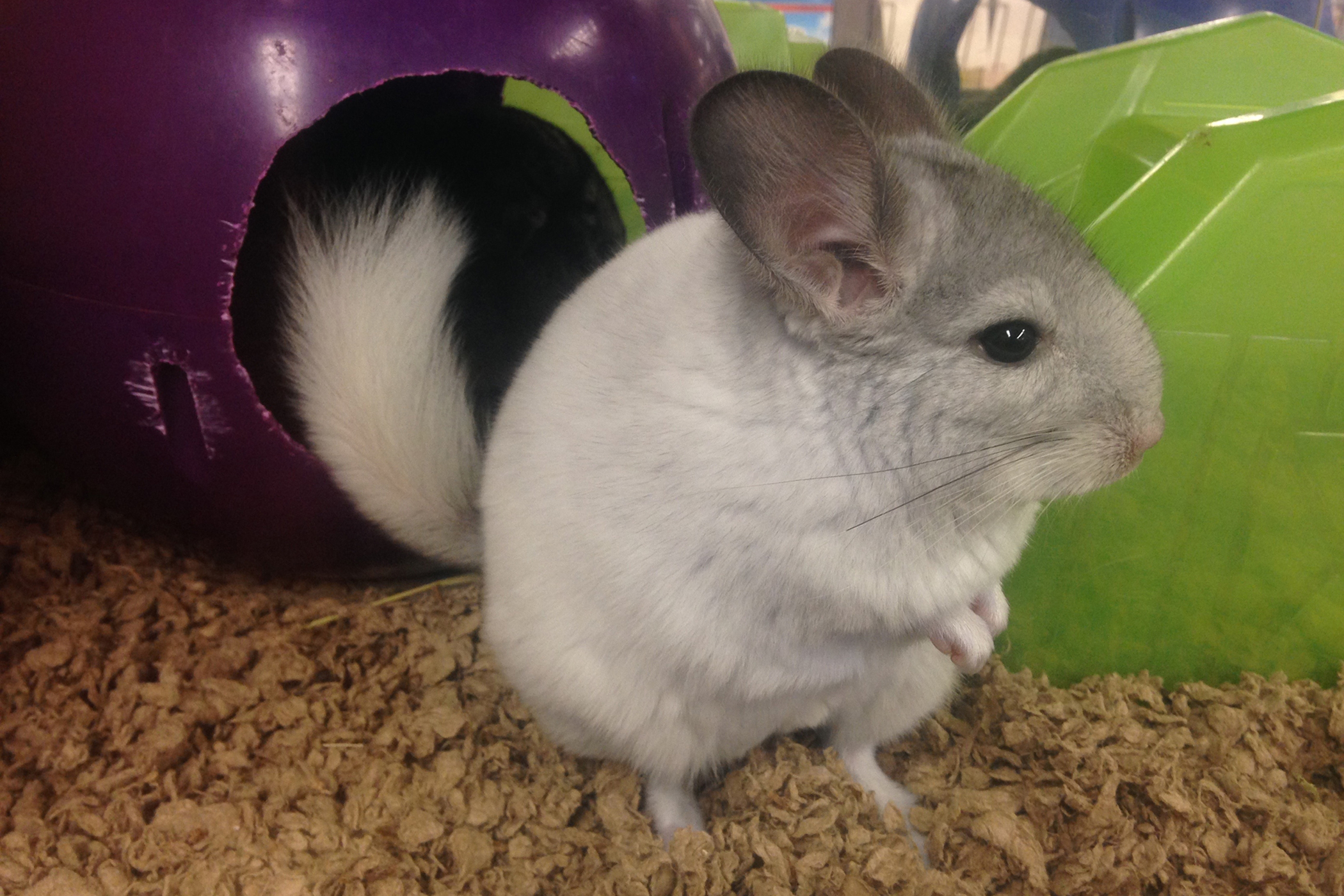 Vitamin B Complex Deficiency in Chinchillas