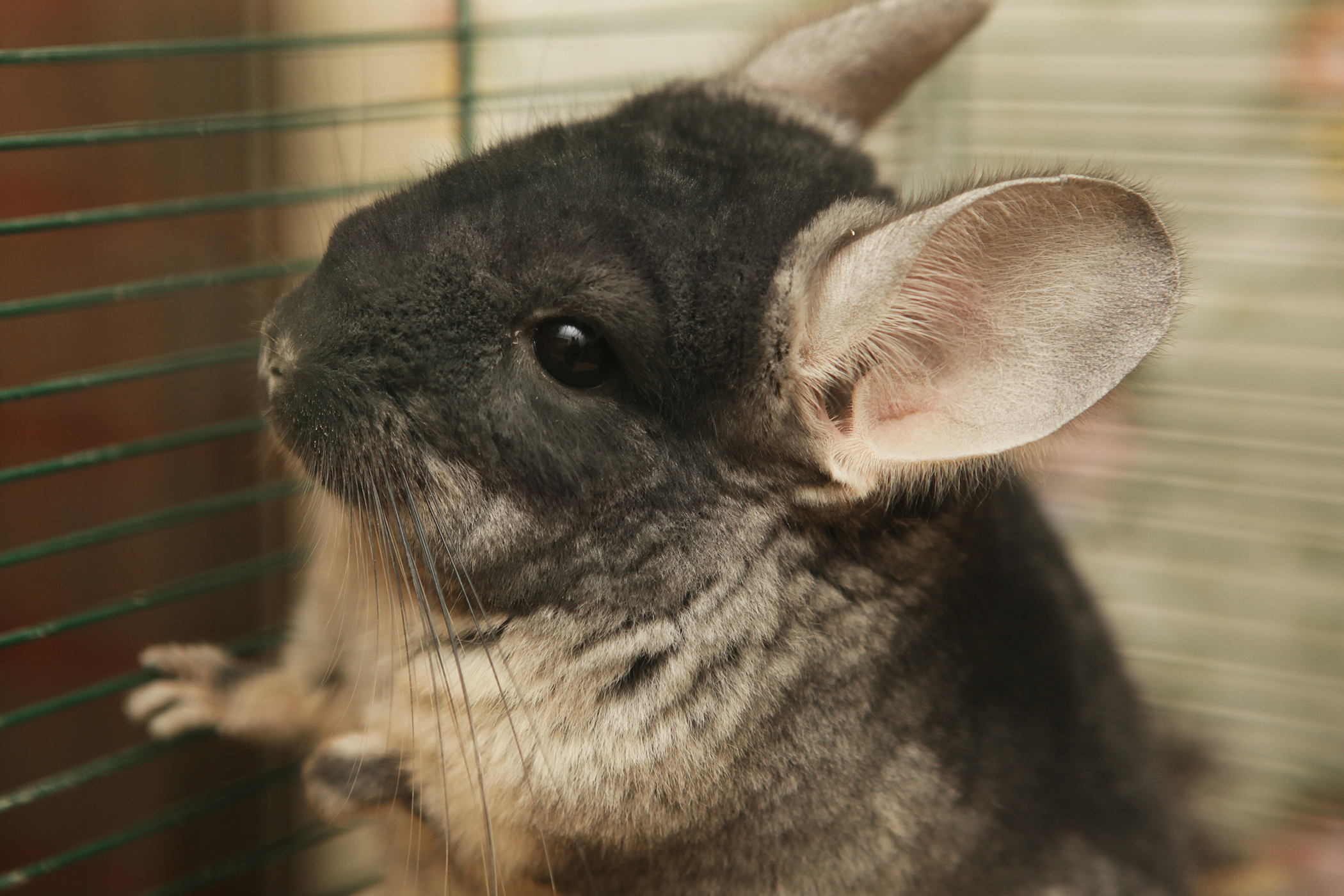 Yersinia Bacterial Infection in Chinchillas