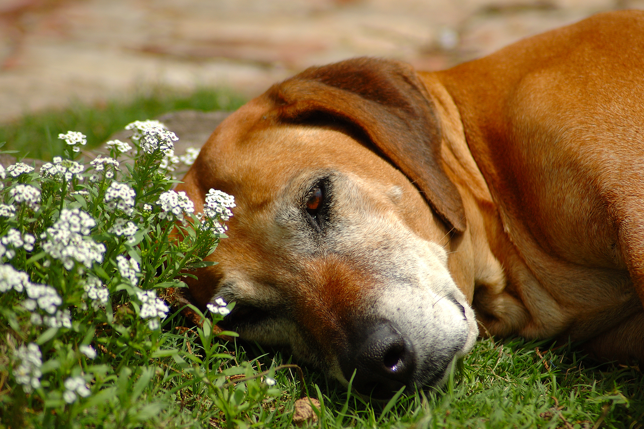 Adrenal Biopsy in Dogs