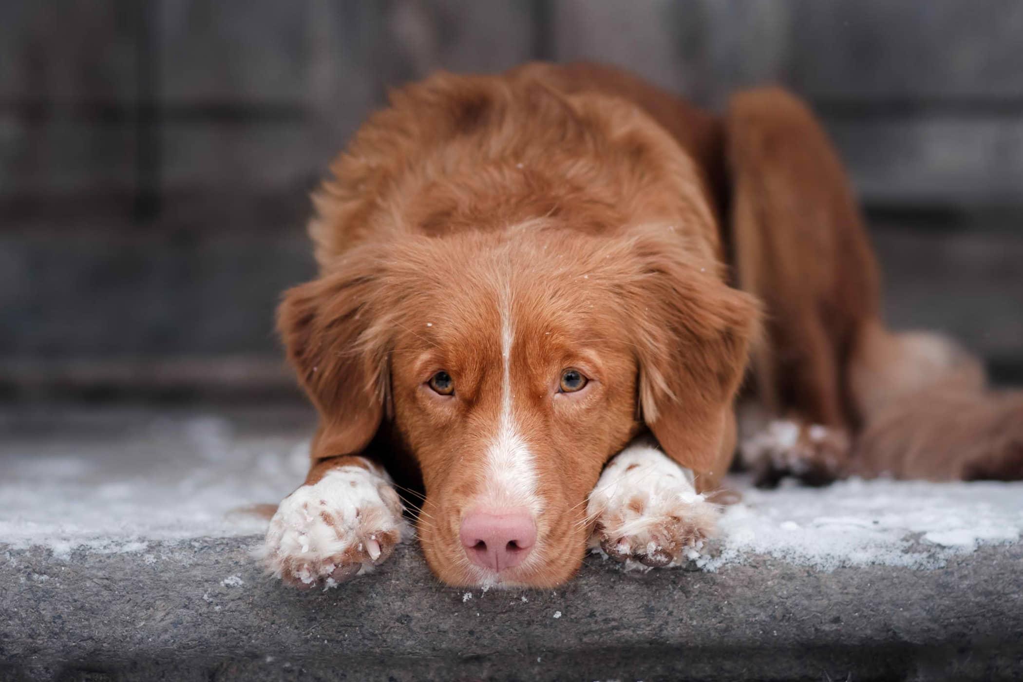 Arthrocentesis in Dogs