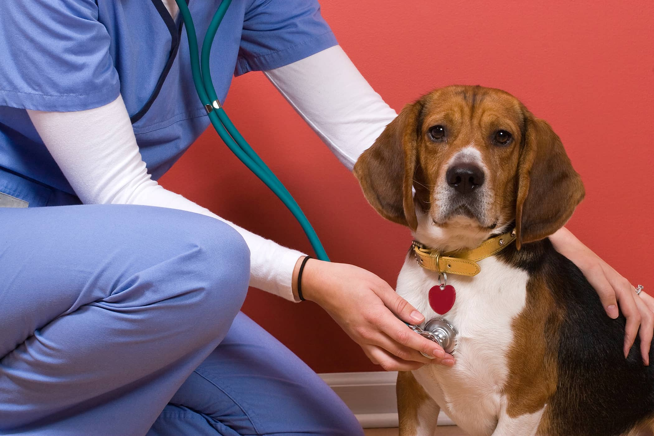 Artificial Insemination in Dogs