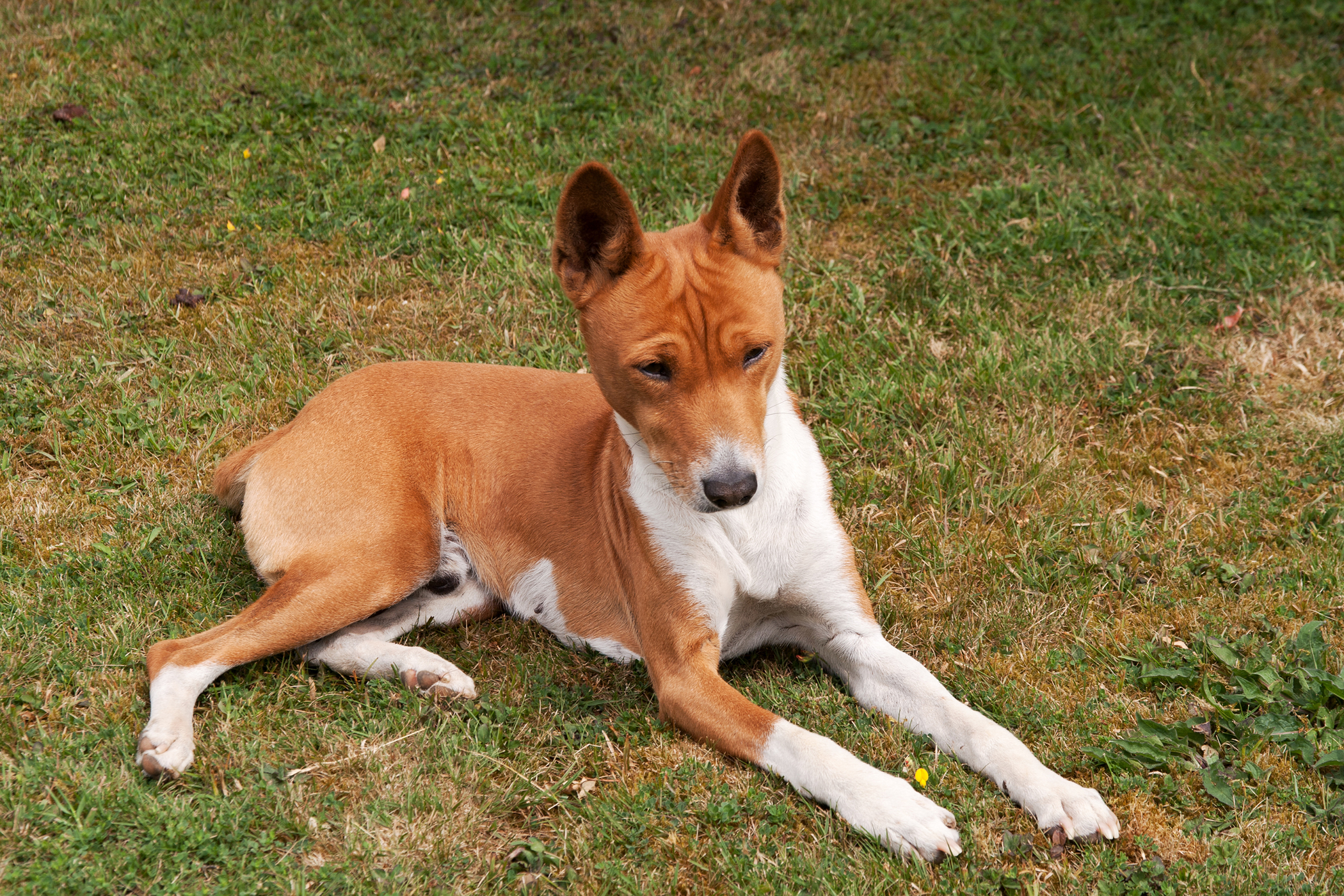 Biceps Tenotomy in Dogs