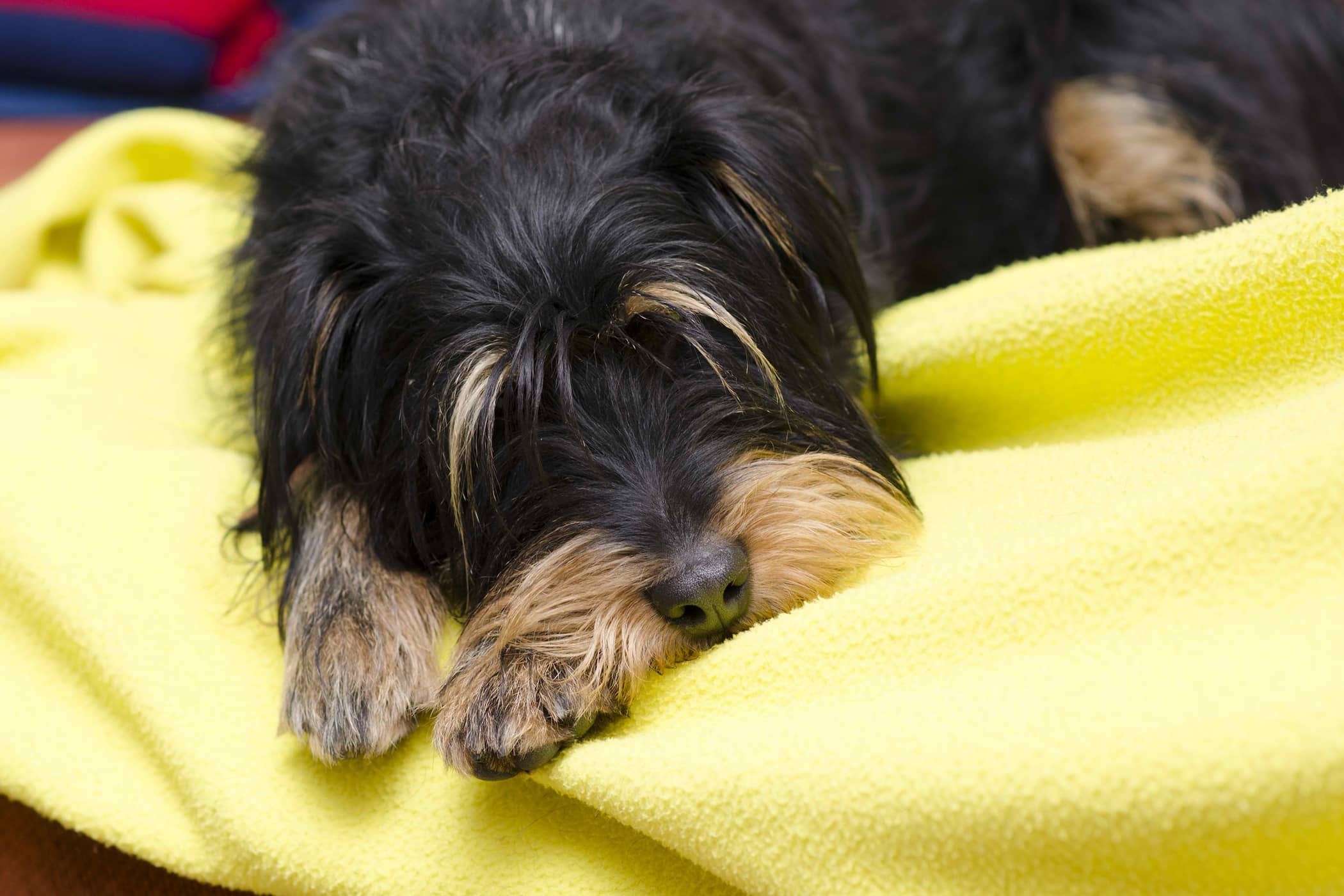 Bladder Lavage in Dogs