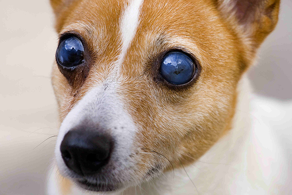 Reasons For Eye Removal In Dogs