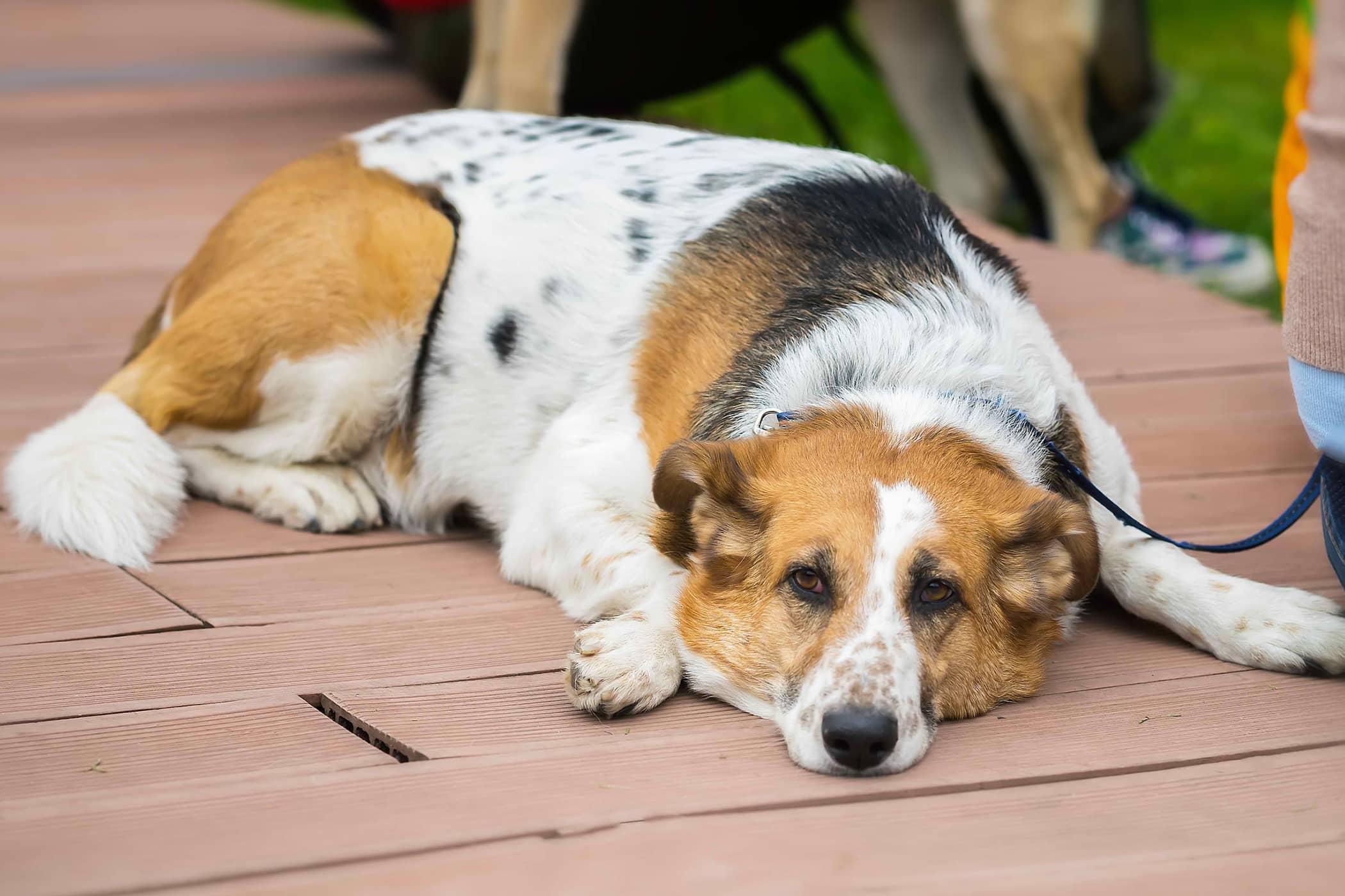 Bone Marrow Biopsy in Dogs
