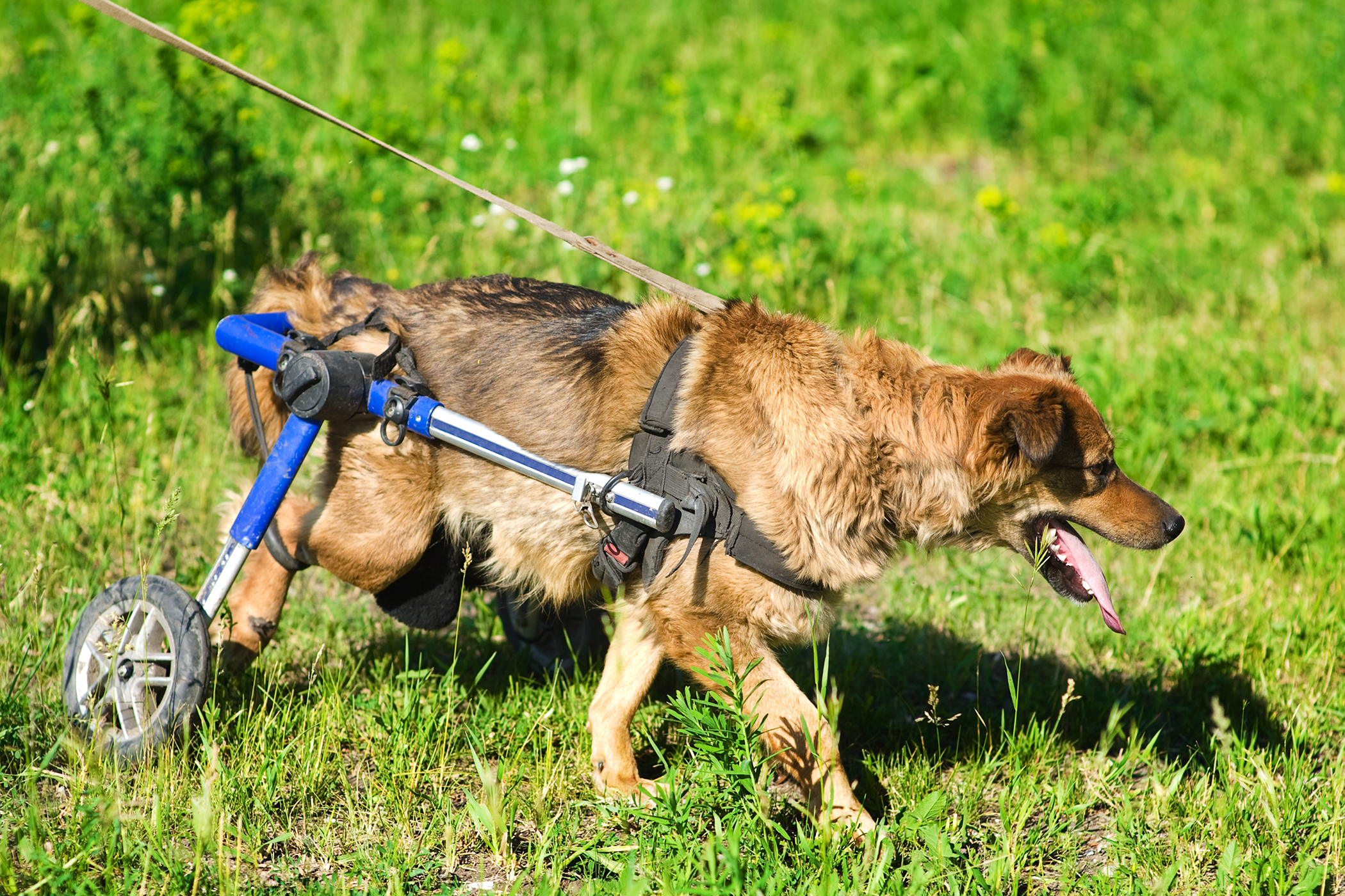 Cervical Dorsal Laminectomy in Dogs