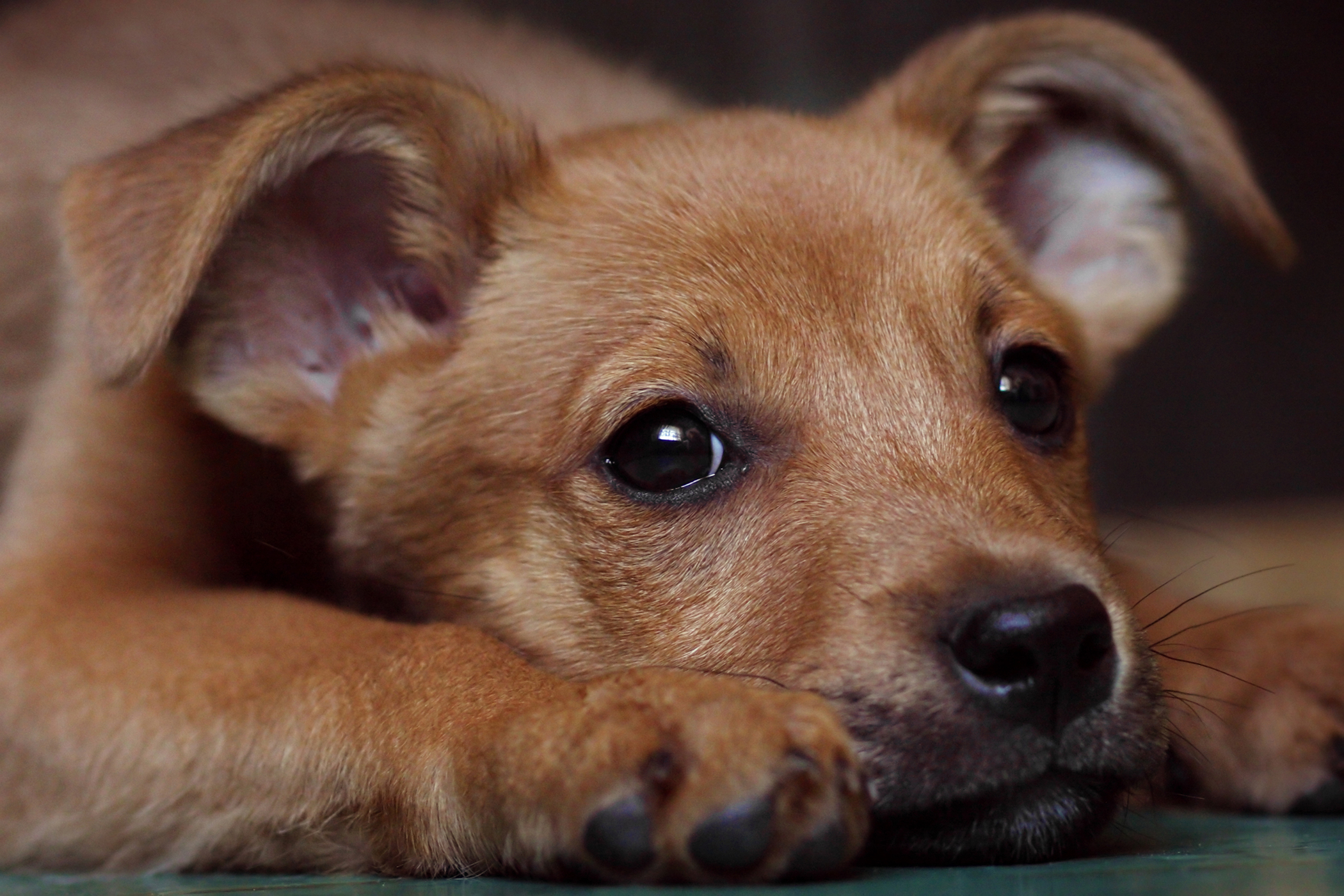 Closure of Medial Canthus in Dogs