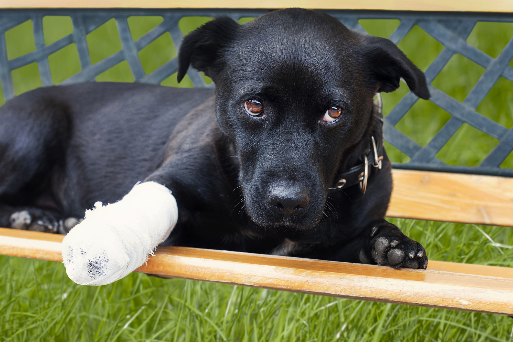 Corrective Osteotomy in Dogs