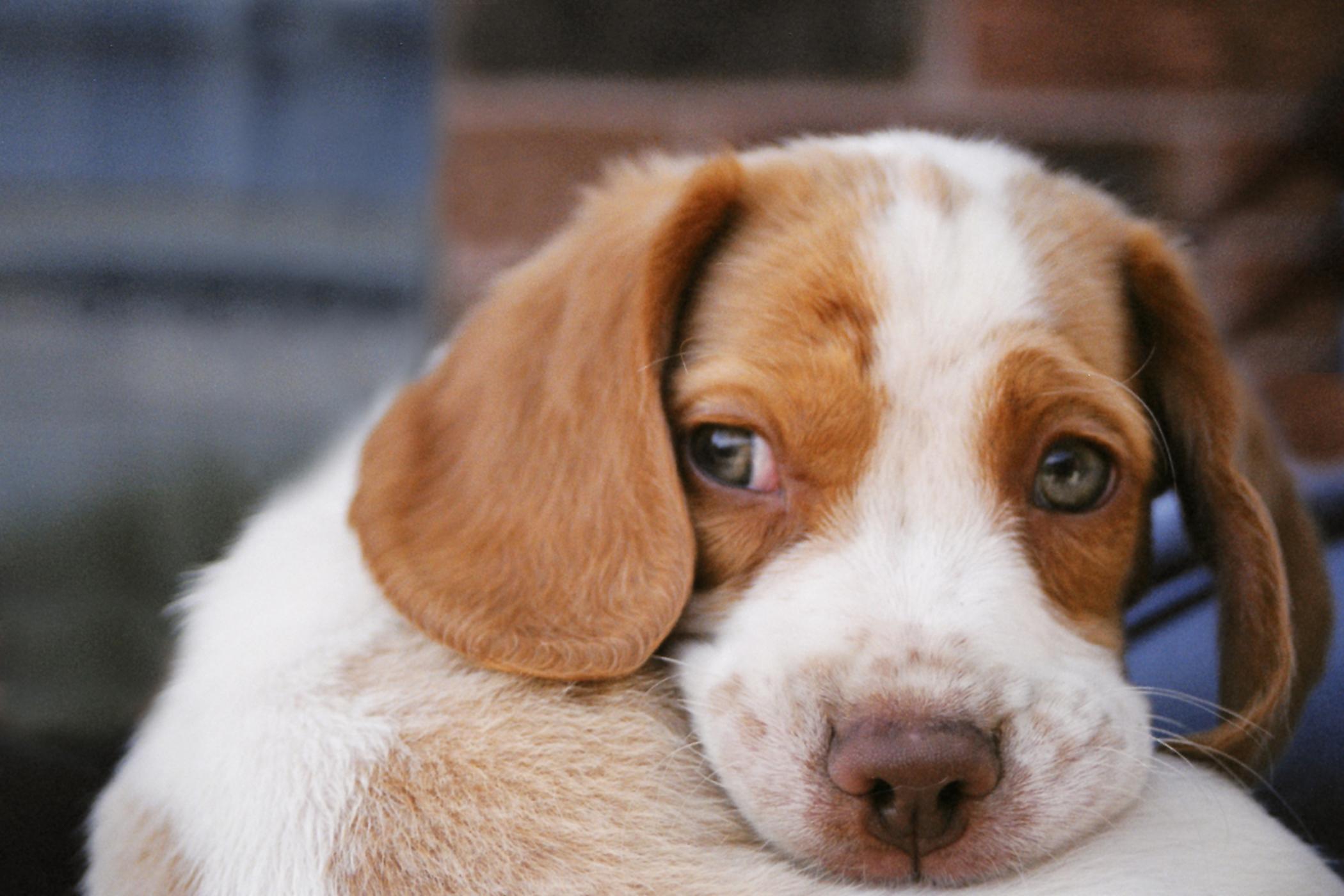 Dorsal Rhinotomy in Dogs