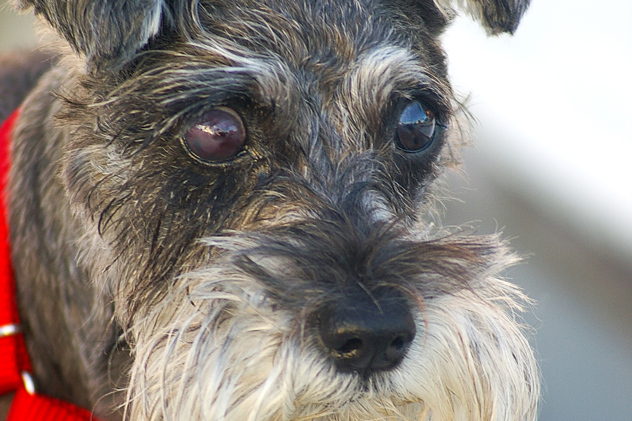 Enucleation in Dogs