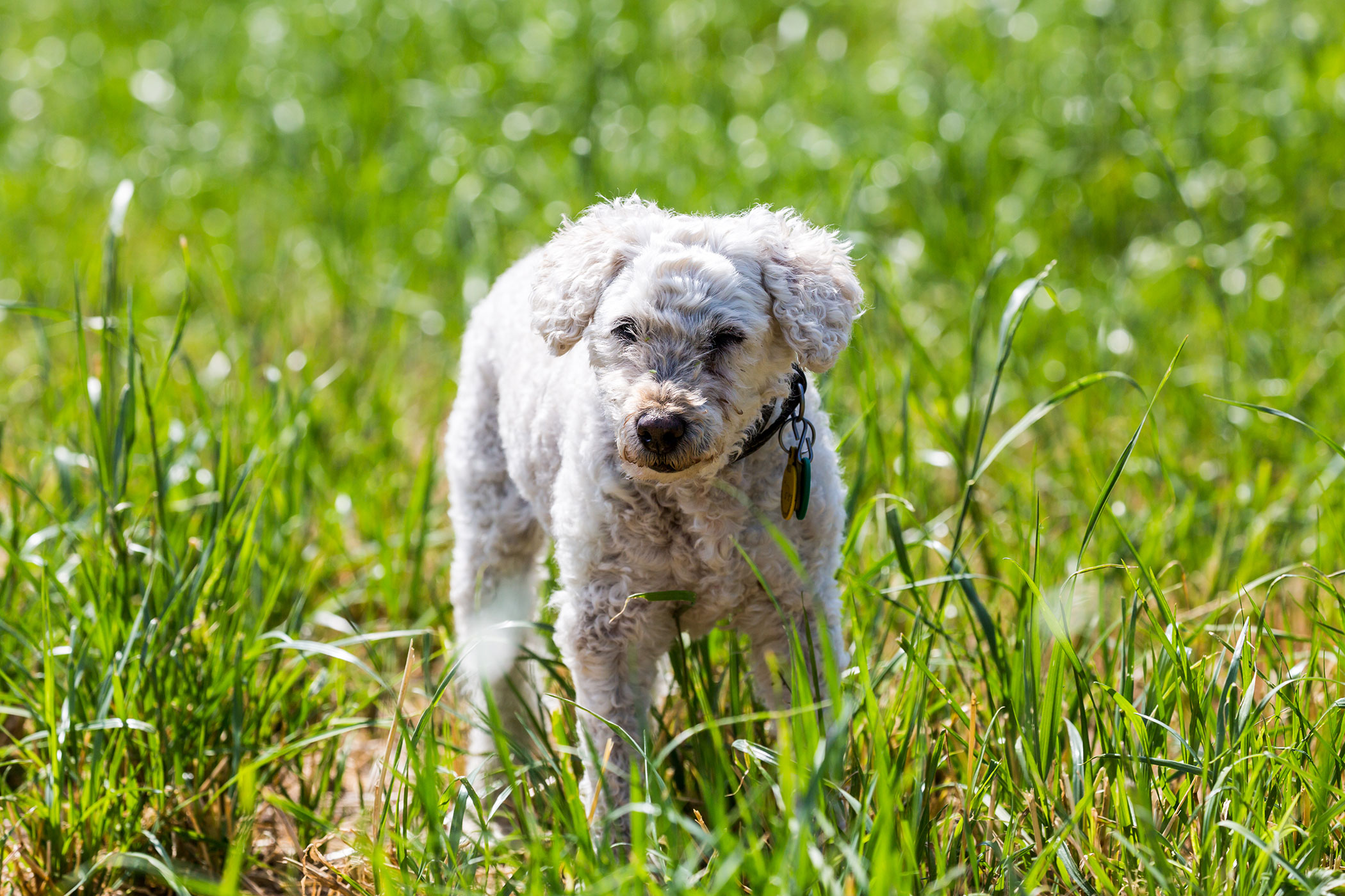 Excess Acidity in the Blood in Dogs