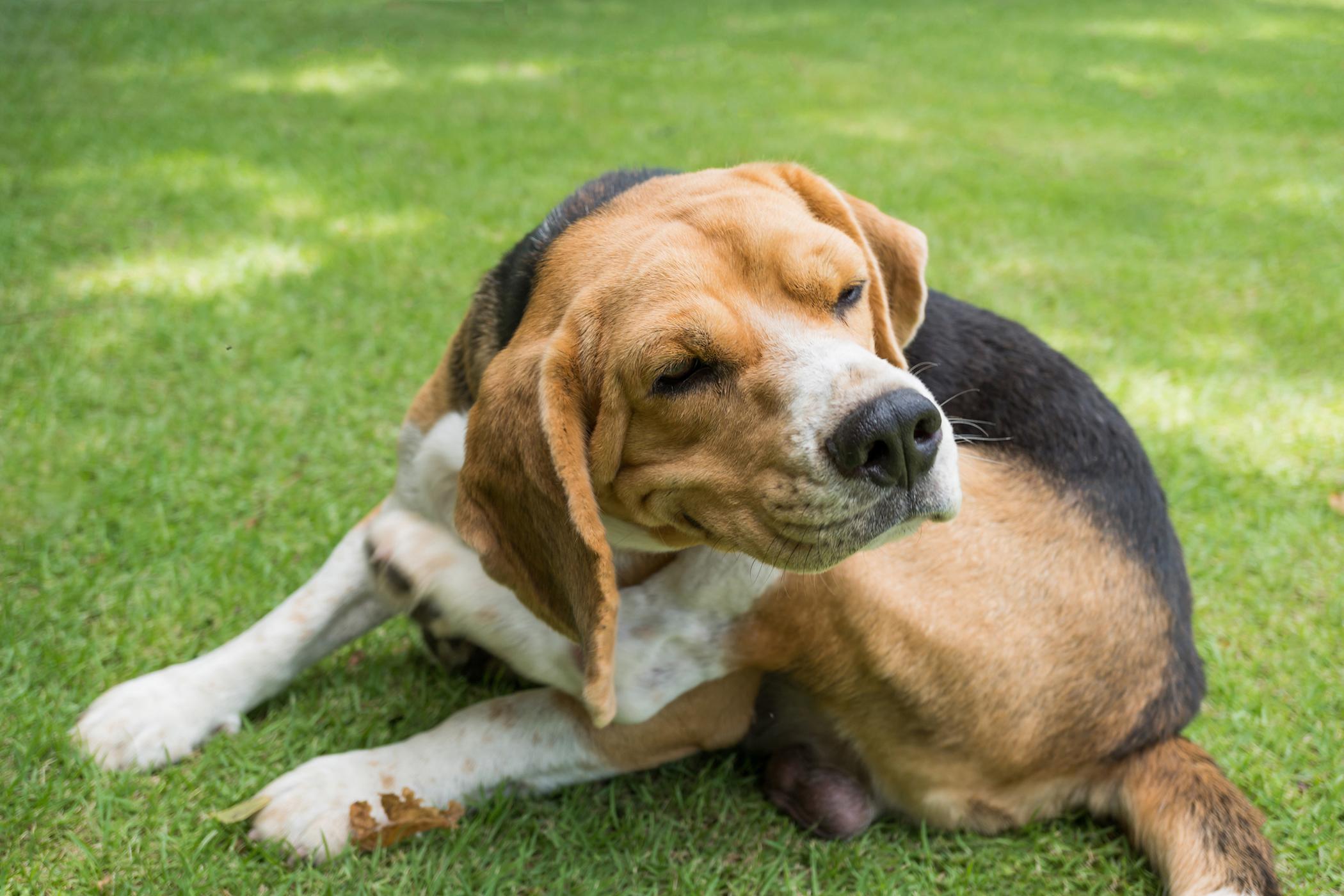Exploratory Laparoscopy in Dogs
