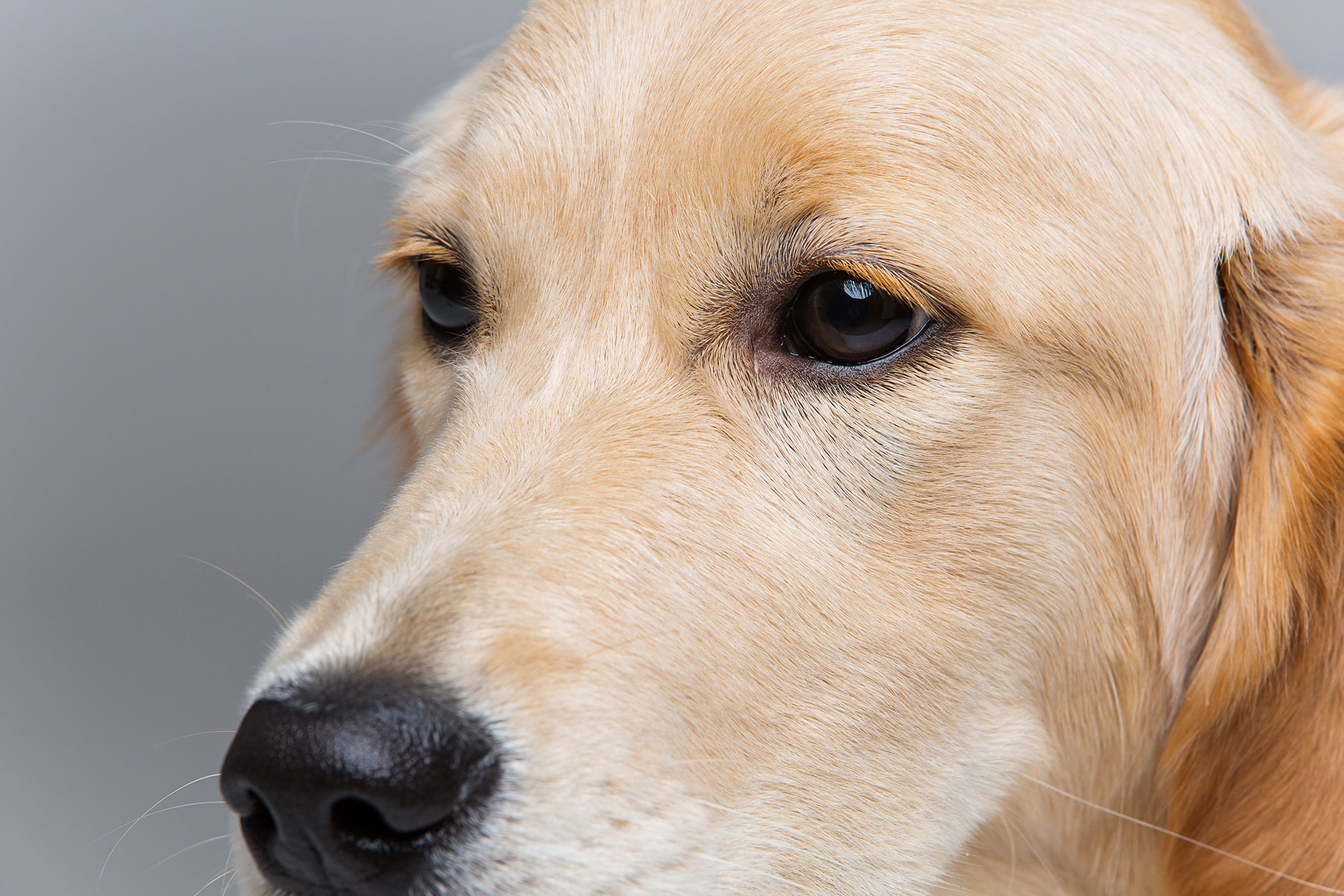 Cherry Eye In Dogs Treatment Cost